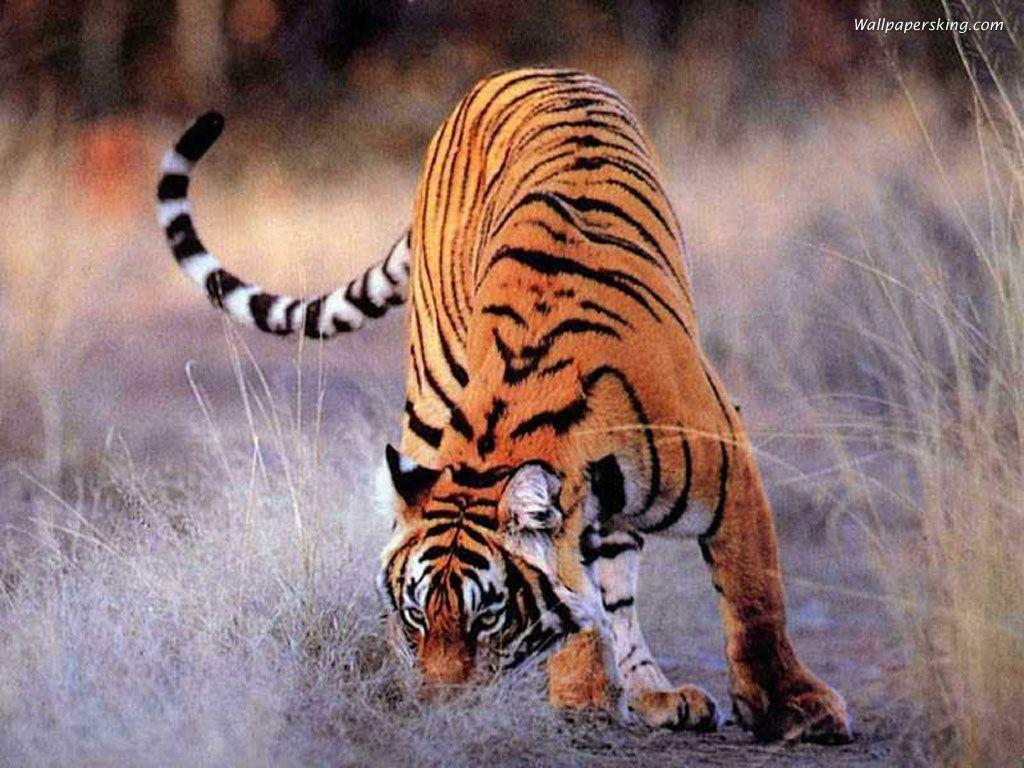 Tiger Wallpapers 55 Backgrounds HD