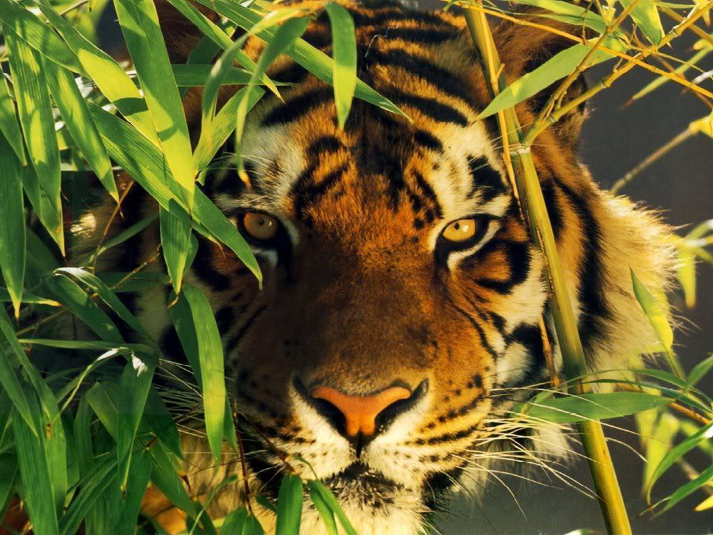tiger wallpaper / Wallpaper Abstract 13151 high quality ...