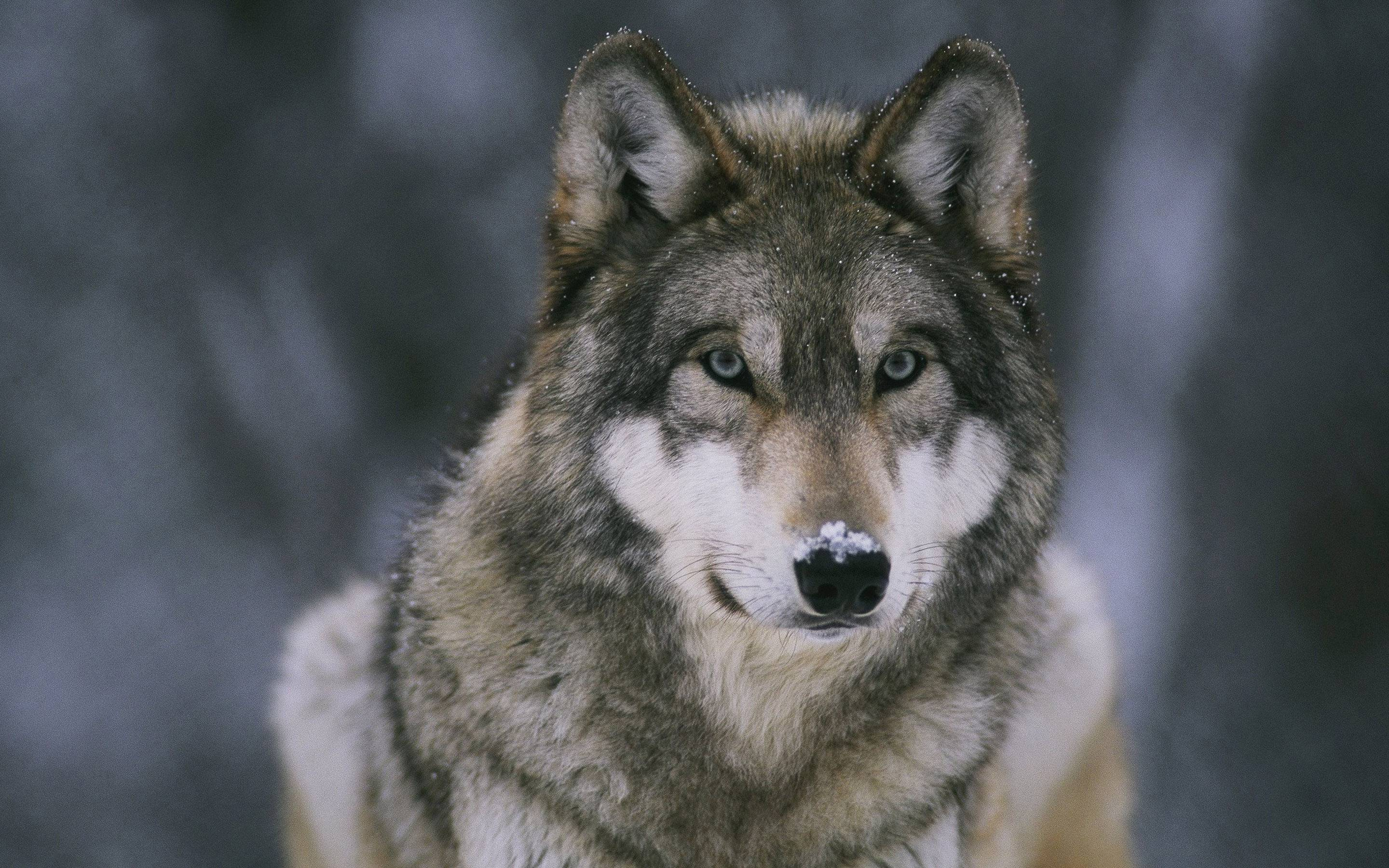 Wolf Wallpapers - Full HD wallpaper search