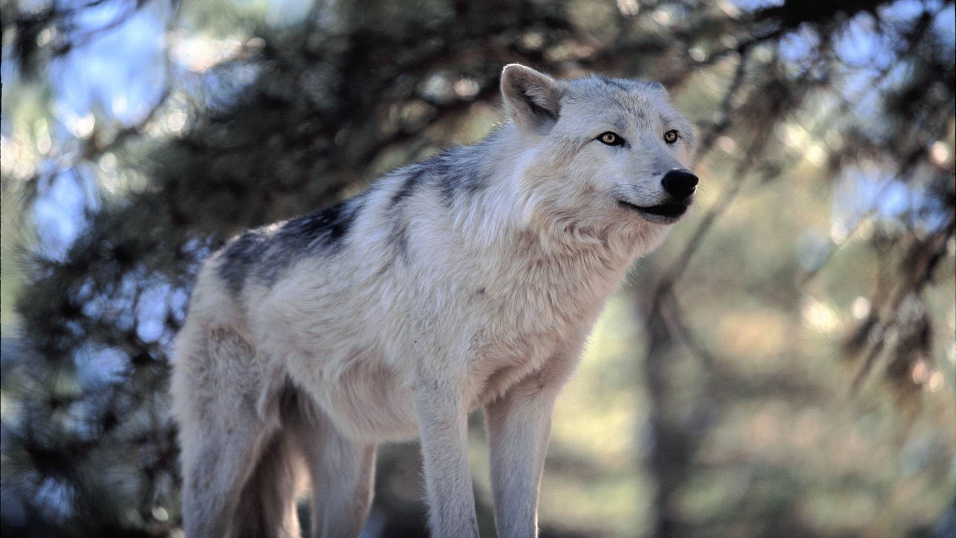 White Wolf HD Wallpapers
