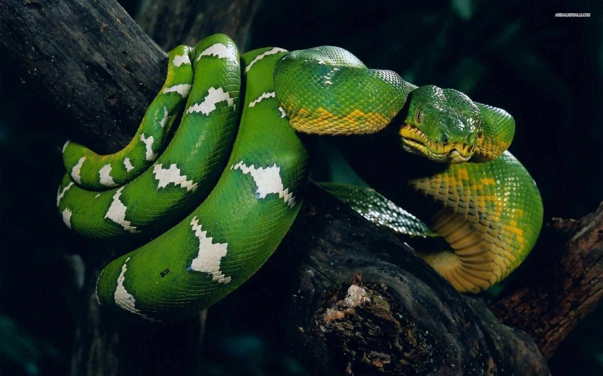 Snake Wallpapers: Different Family Type Of Sna (2029) - HD Desktop ...