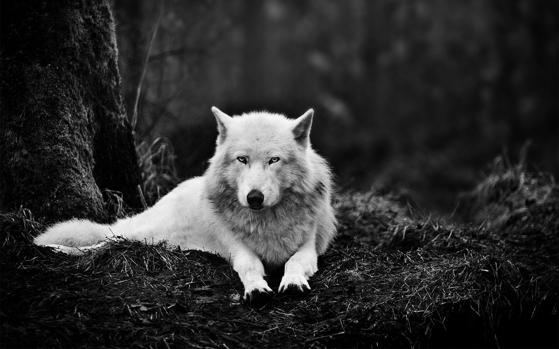 Wolf Wallpapers - Full HD wallpaper search - page 8