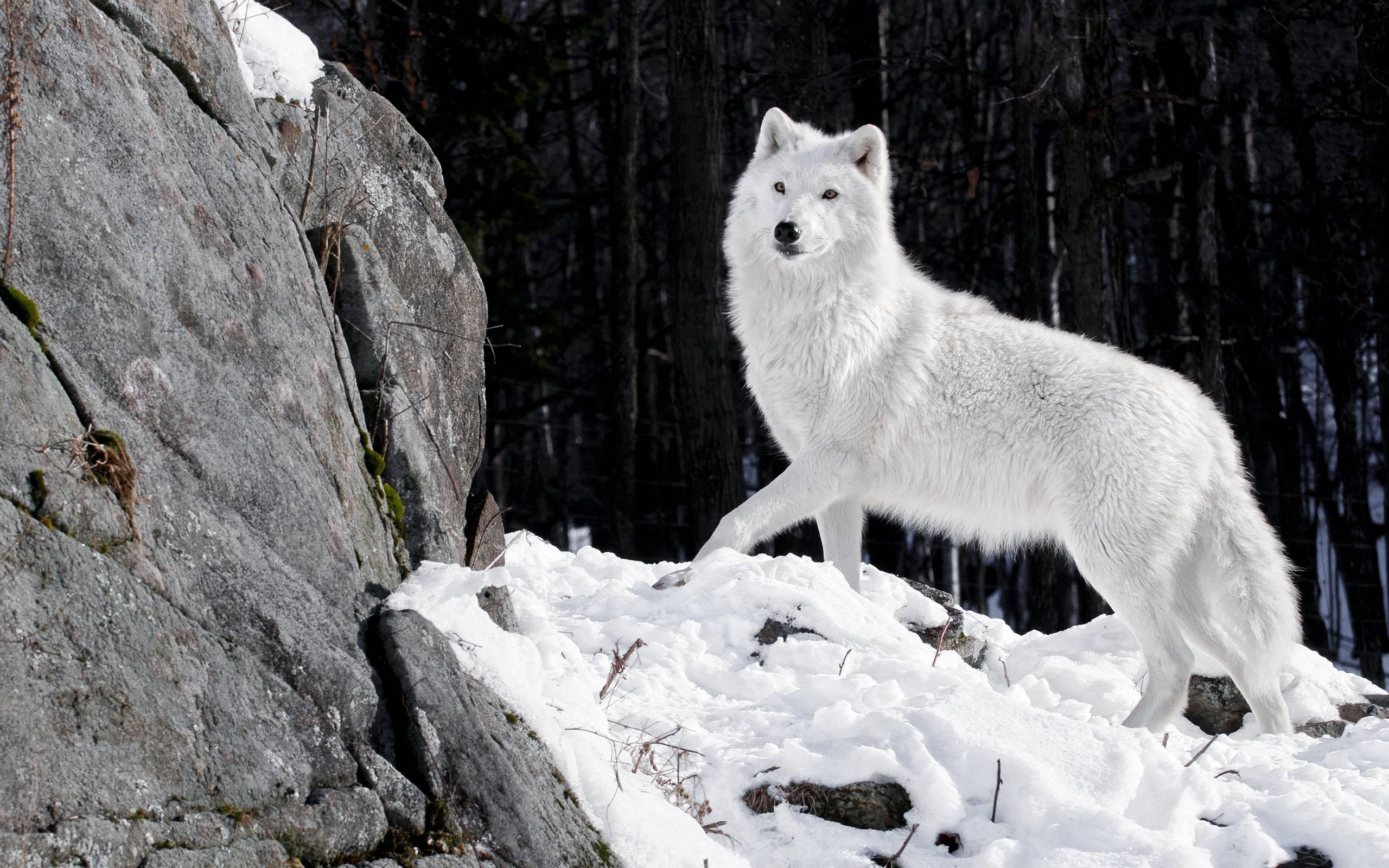 20 HD Wolf Wallpaper | CuriositySplash