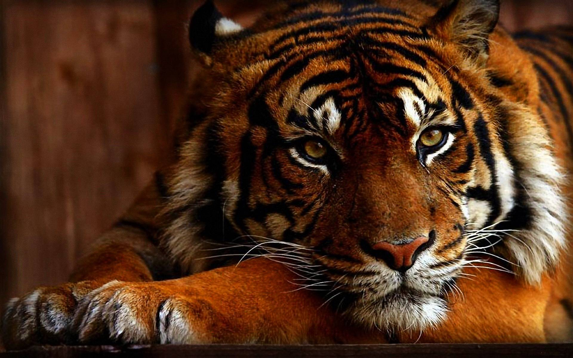 Wallpapers HD Tiger 73 172042 High Definition Wallpapers