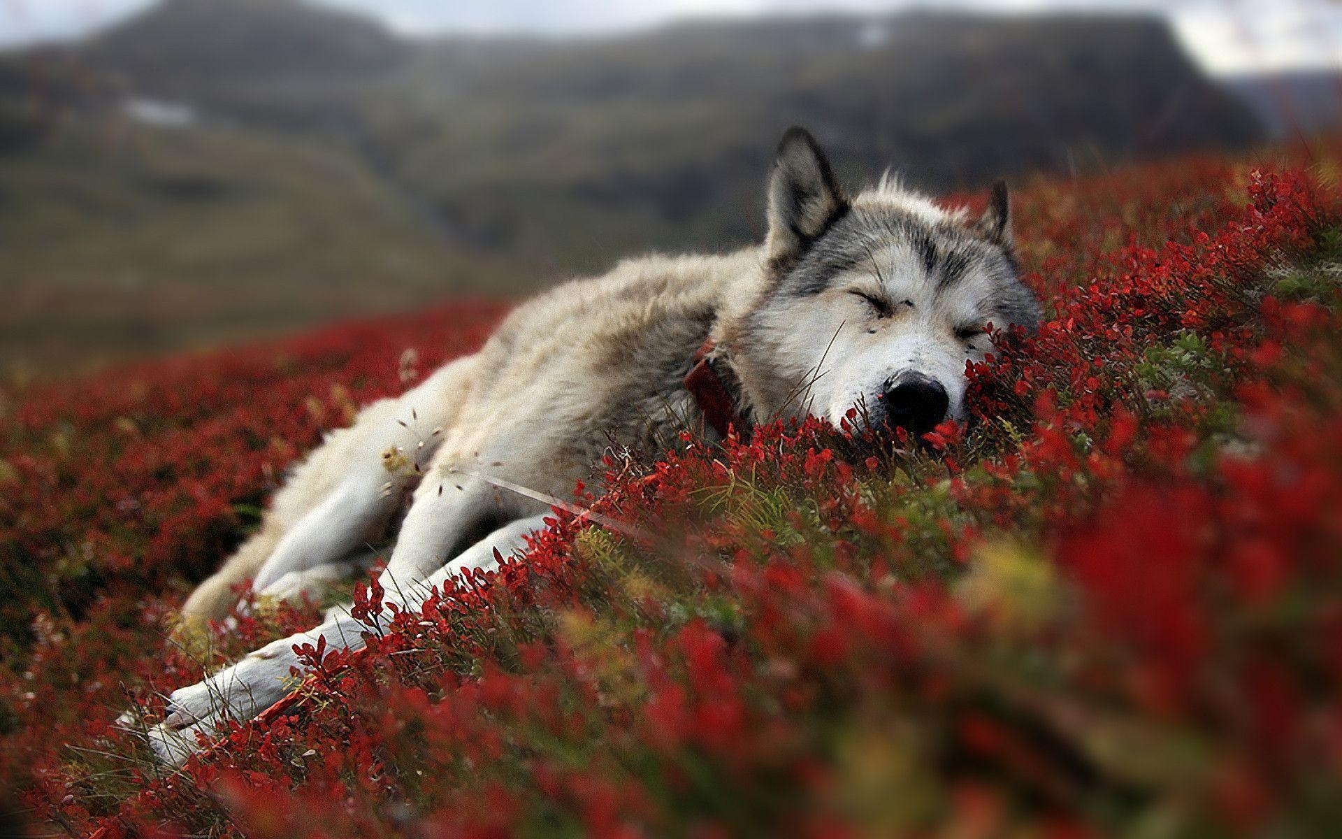 Wallpapers For > Wolf Wallpaper Hd Iphone