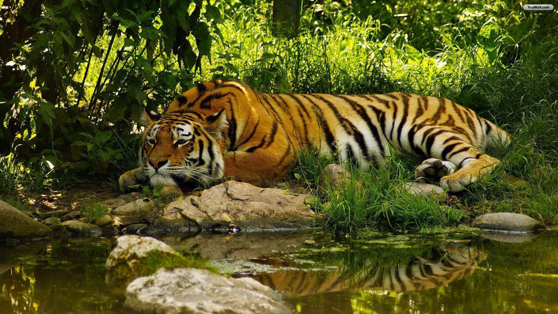 Tiger Wallpapers High Quality Wallpapers