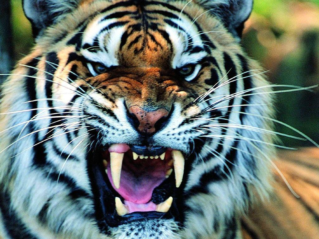 Wallpapers For > Cool Tiger Wallpaper Light