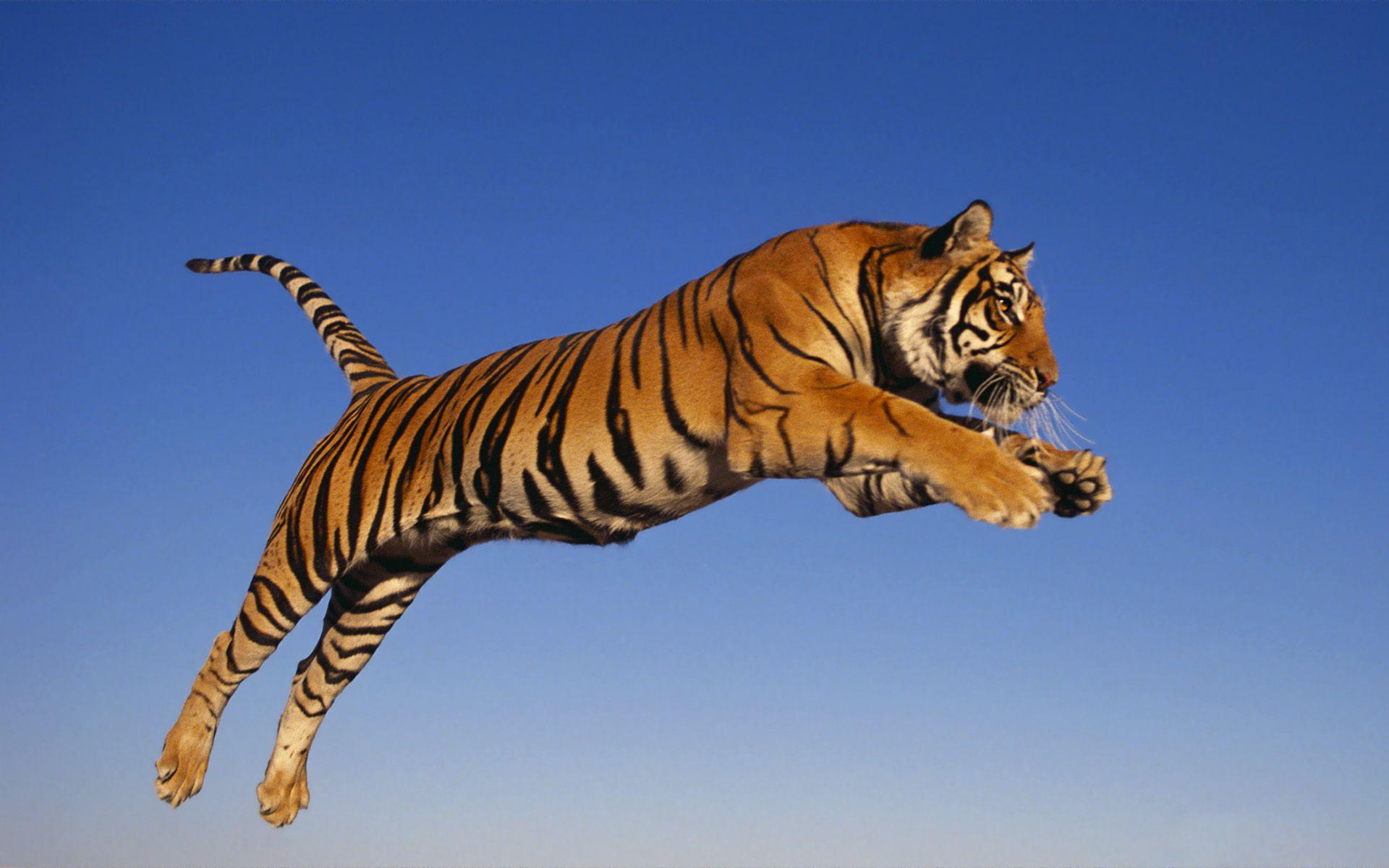 Jumping Tiger Wallpapers HD Wallpapers