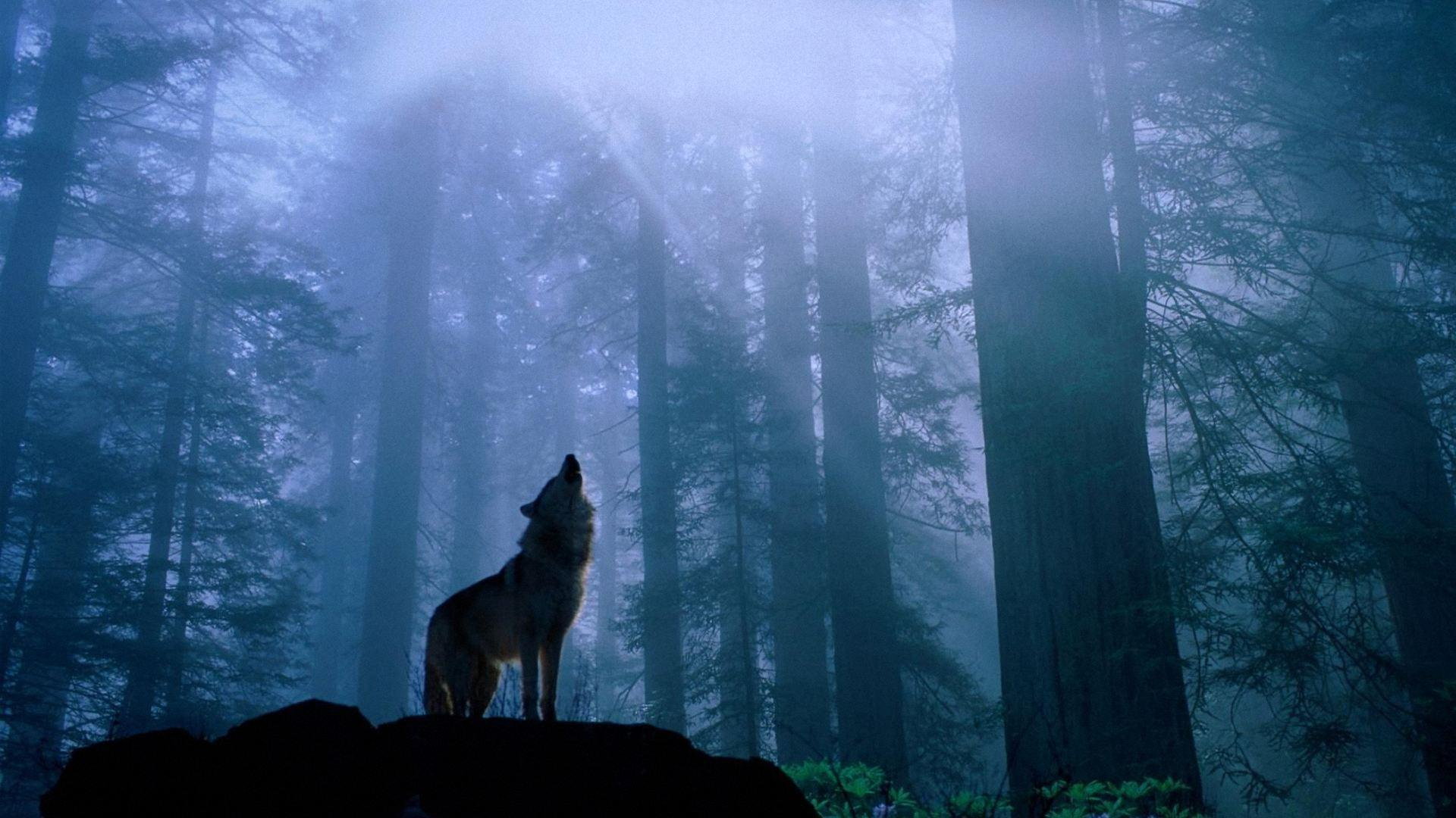 Wolf Wallpapers Image Desktop   High Definition Wallpapers   High ...