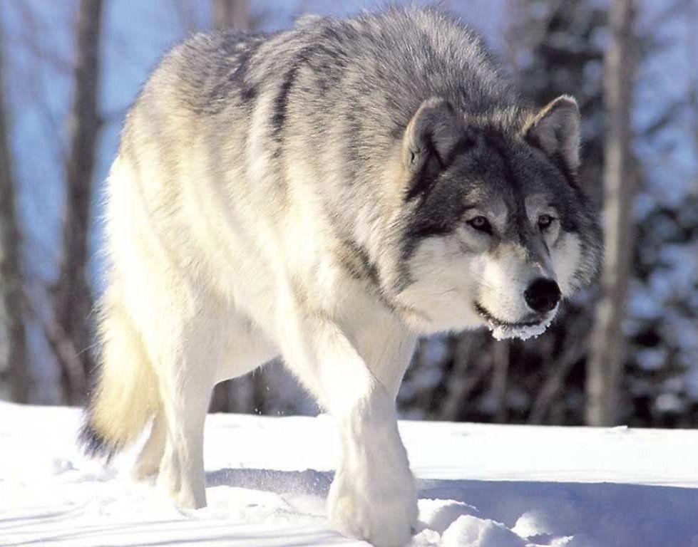 HD Wolf Wallpapers | Download HD Wallpapers