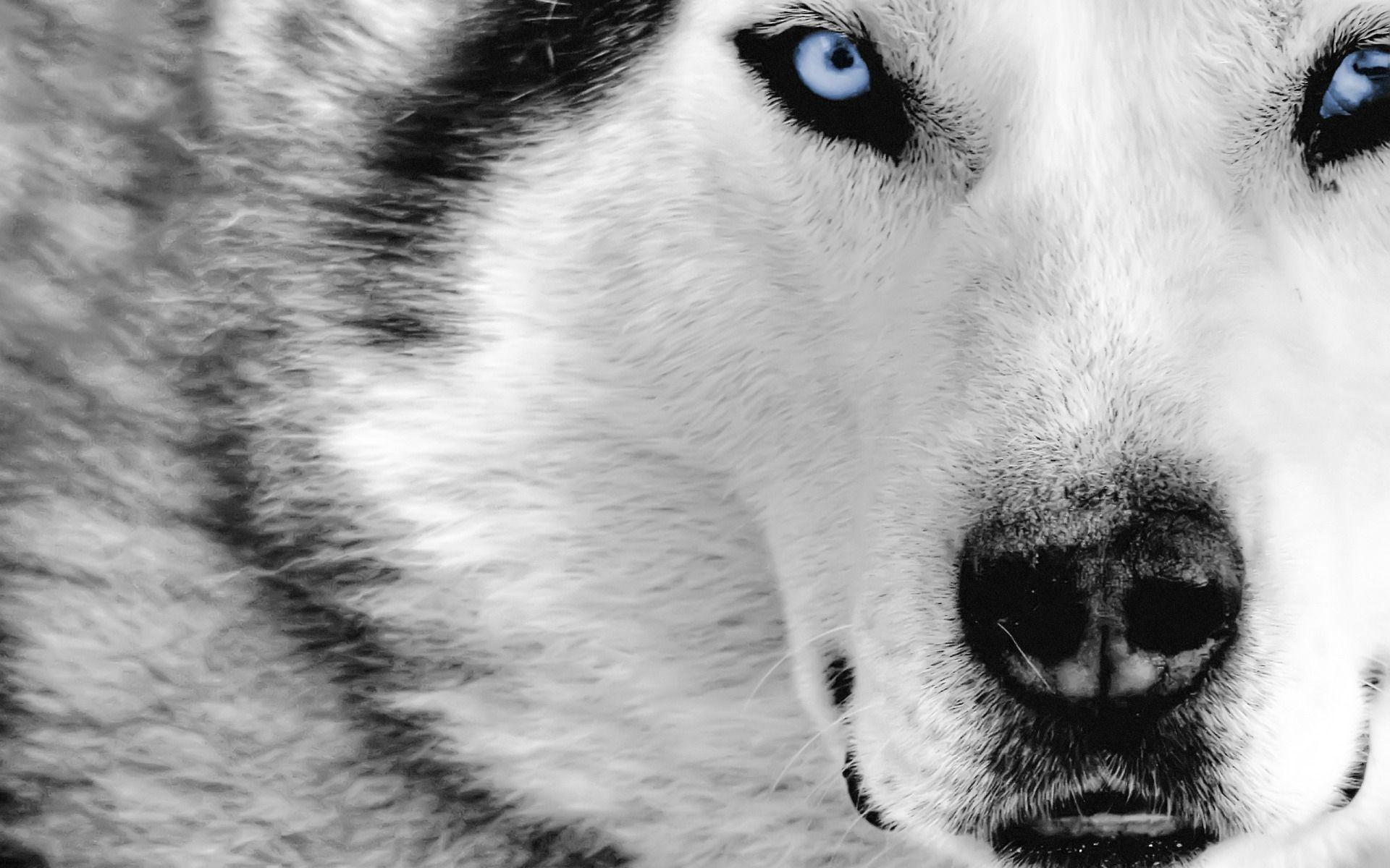 Wolf HD Wallpapers | fbpapa.