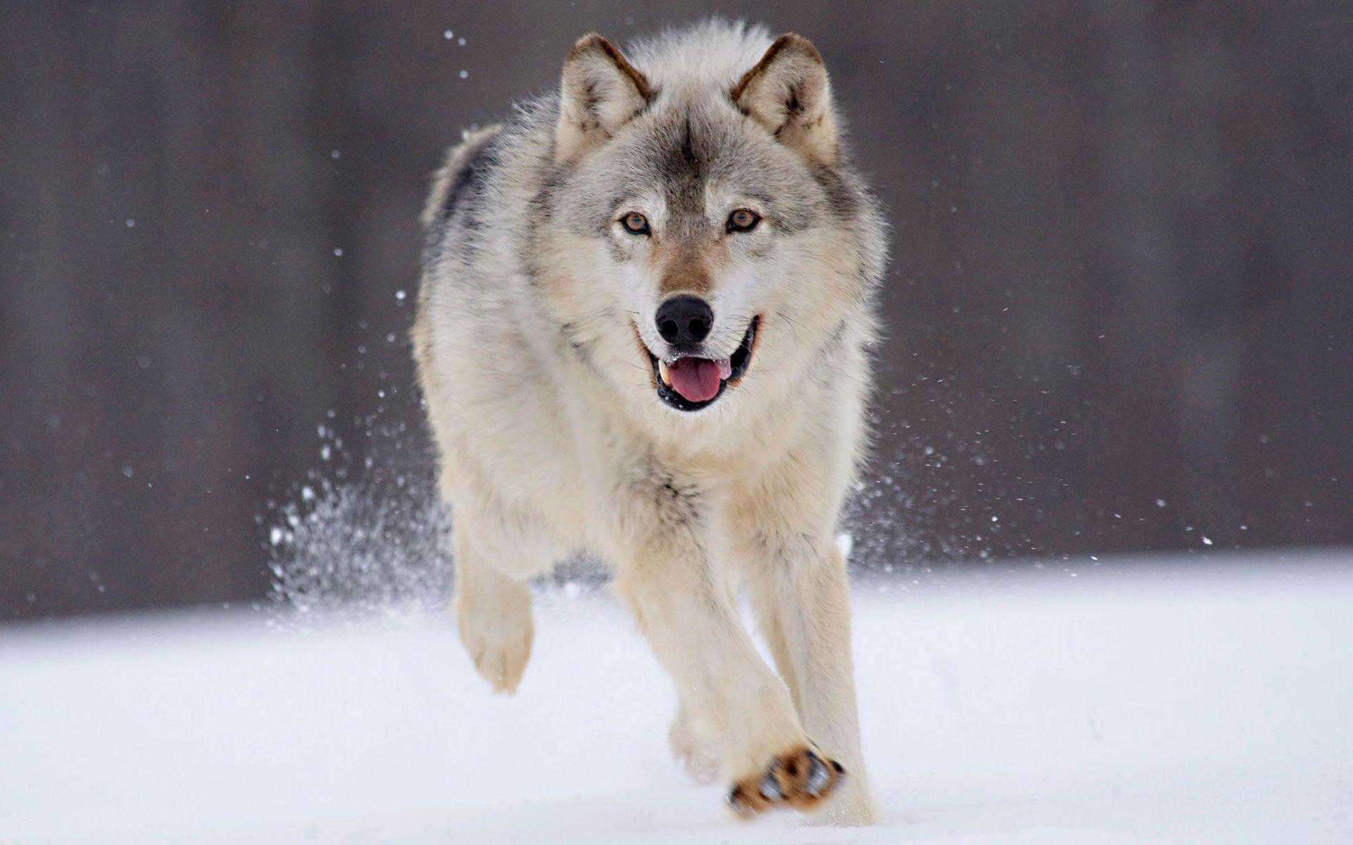 Wolf HD wallpapers - A beautiful dog like animal