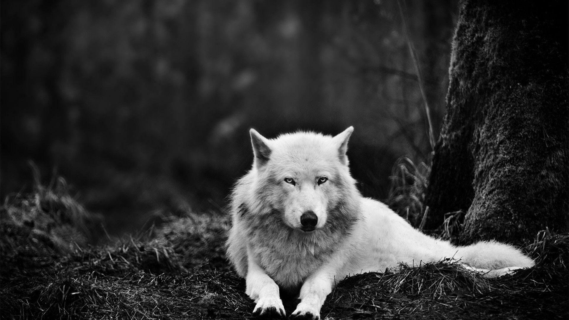 Wolf | Wallpapers HD free Download