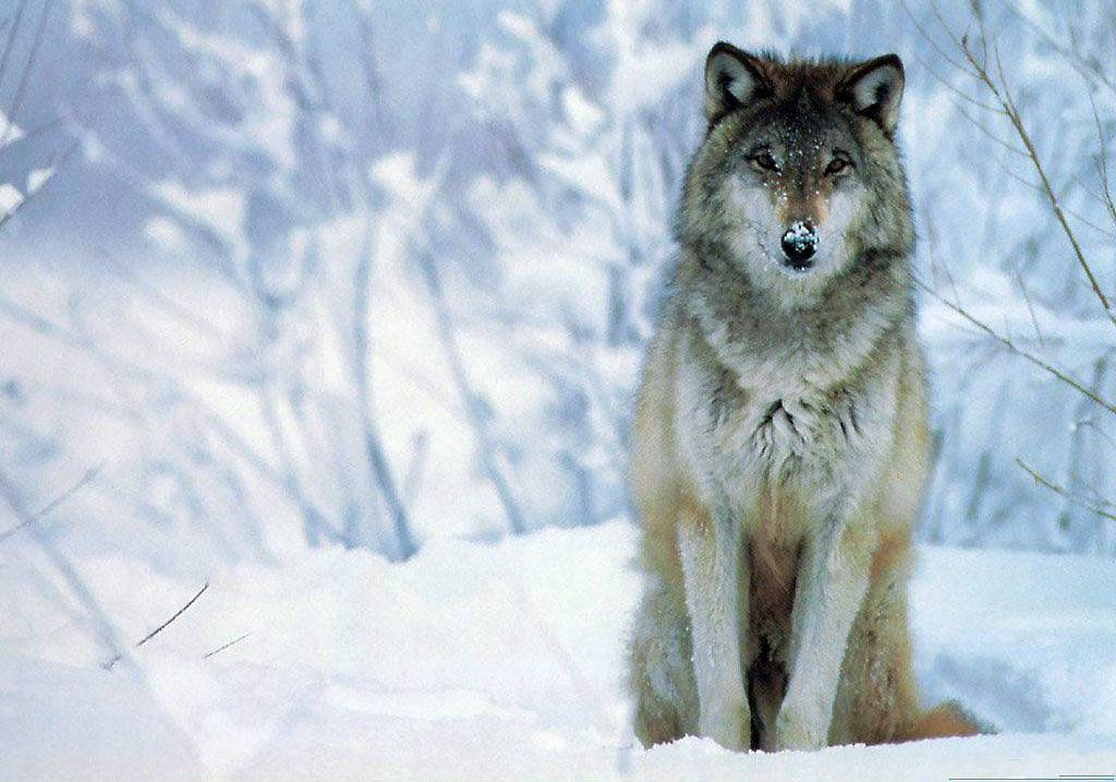 Animals For > Cool Wolf Wallpaper Hd