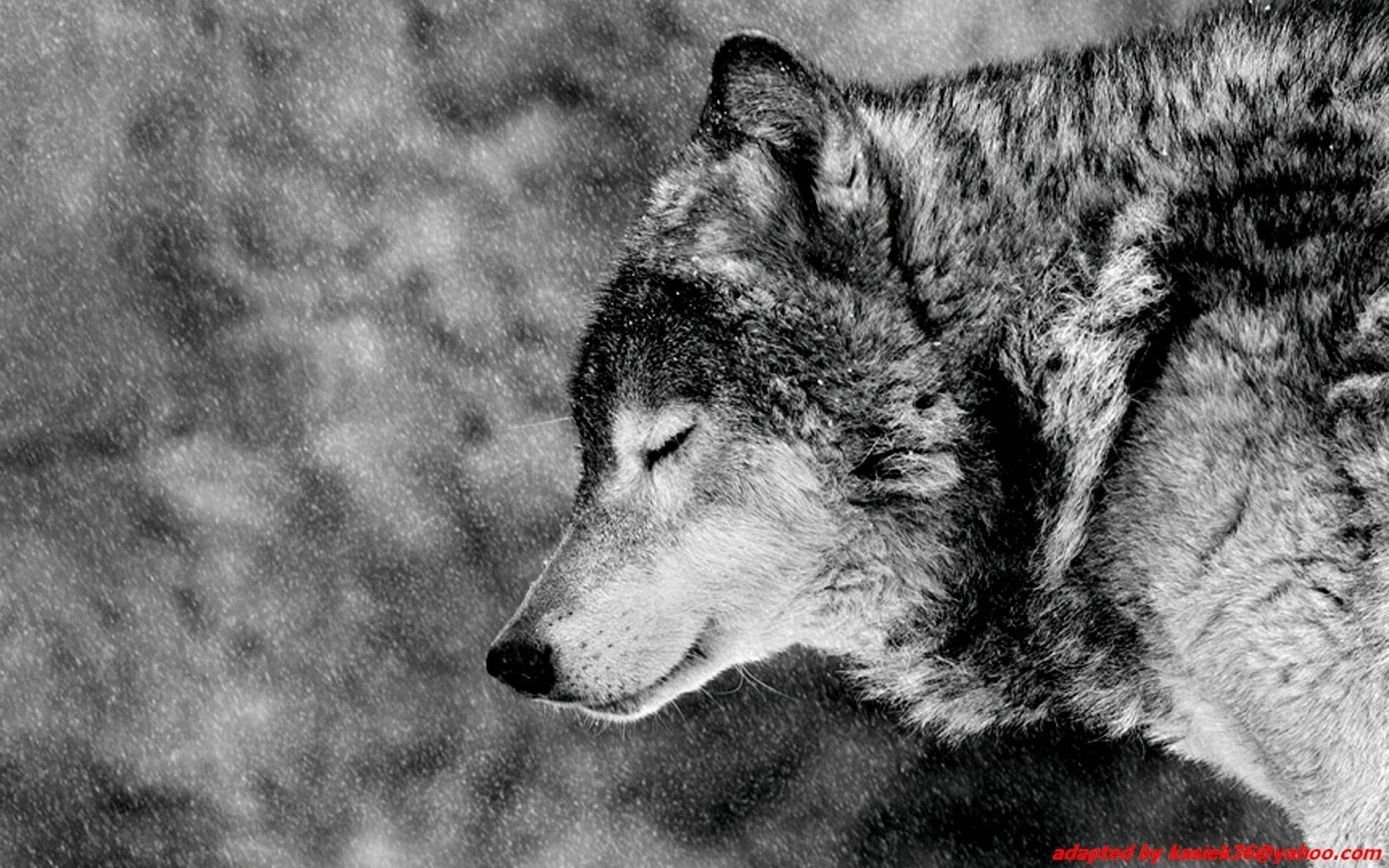 Image For > Alpha Wolf Wallpapers Hd