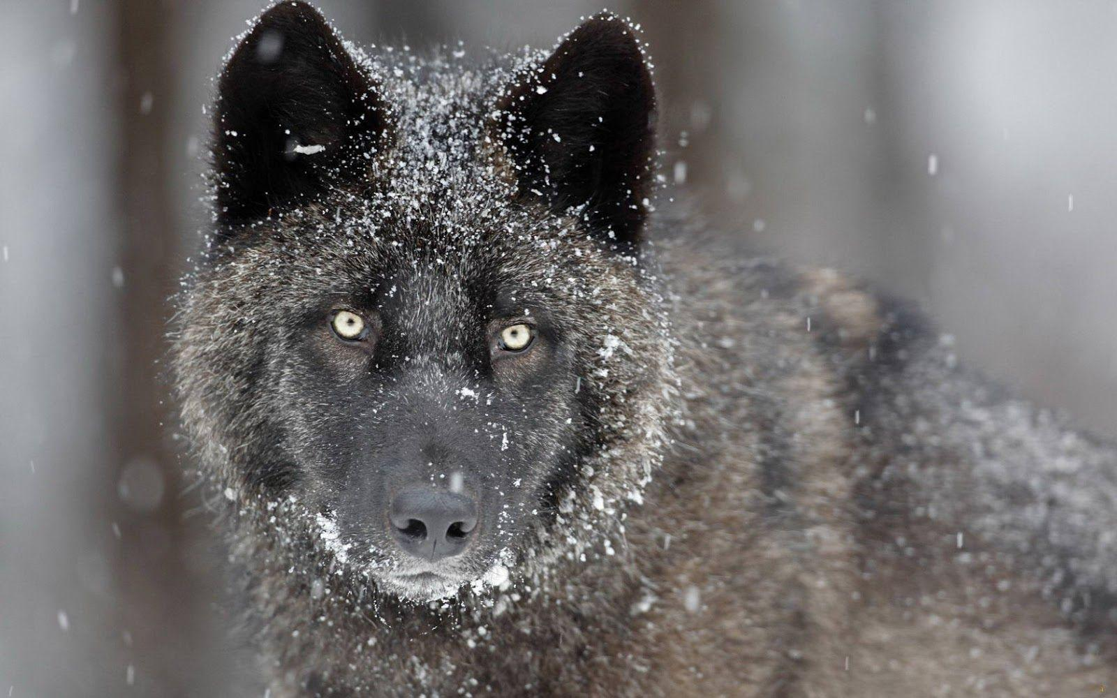 Wallpapers HD Wolf 46 171323 High Definition Wallpapers