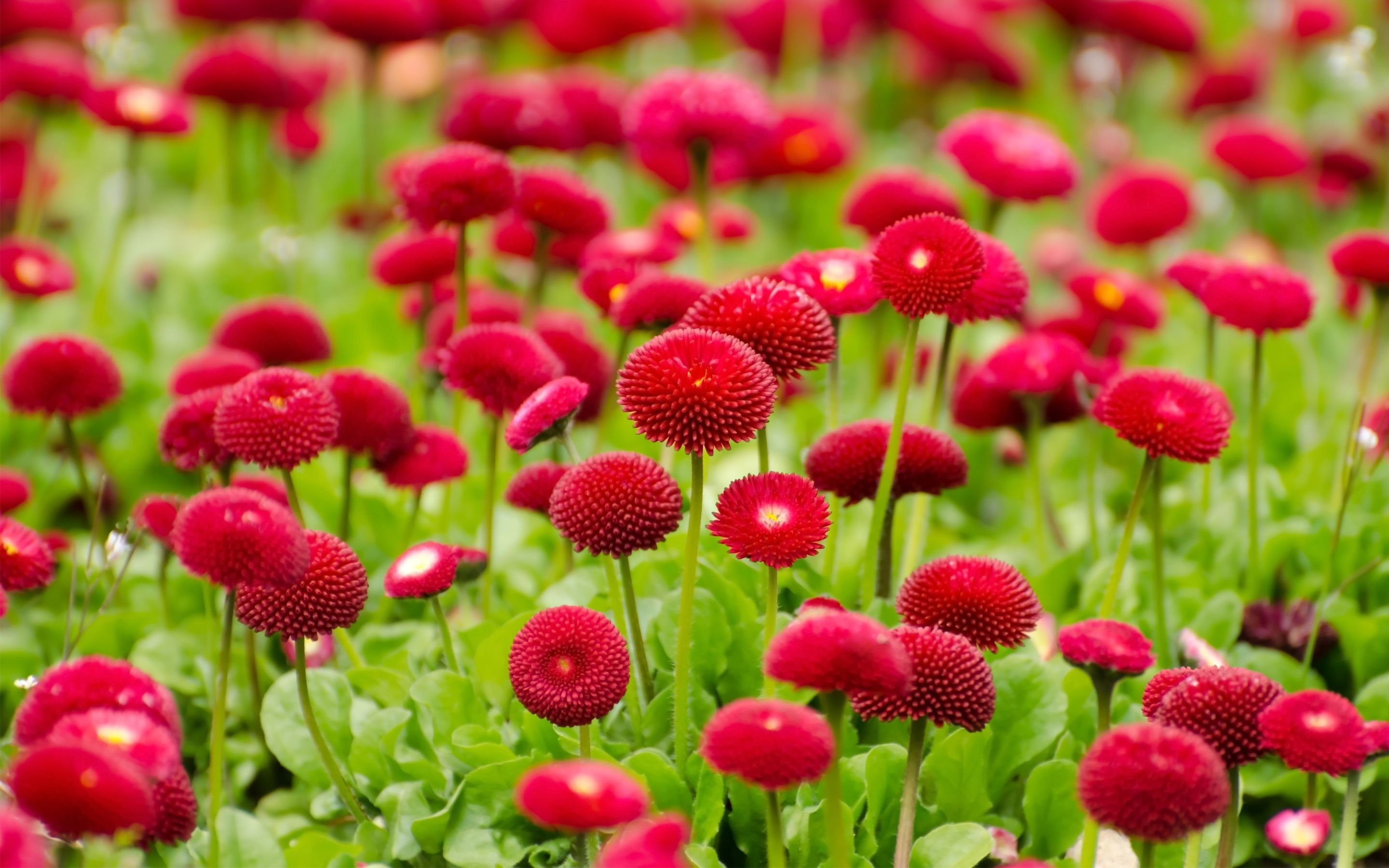 Gallery of 43 Red Flower Backgrounds, Wallpapers   B.SCB Wallpapers