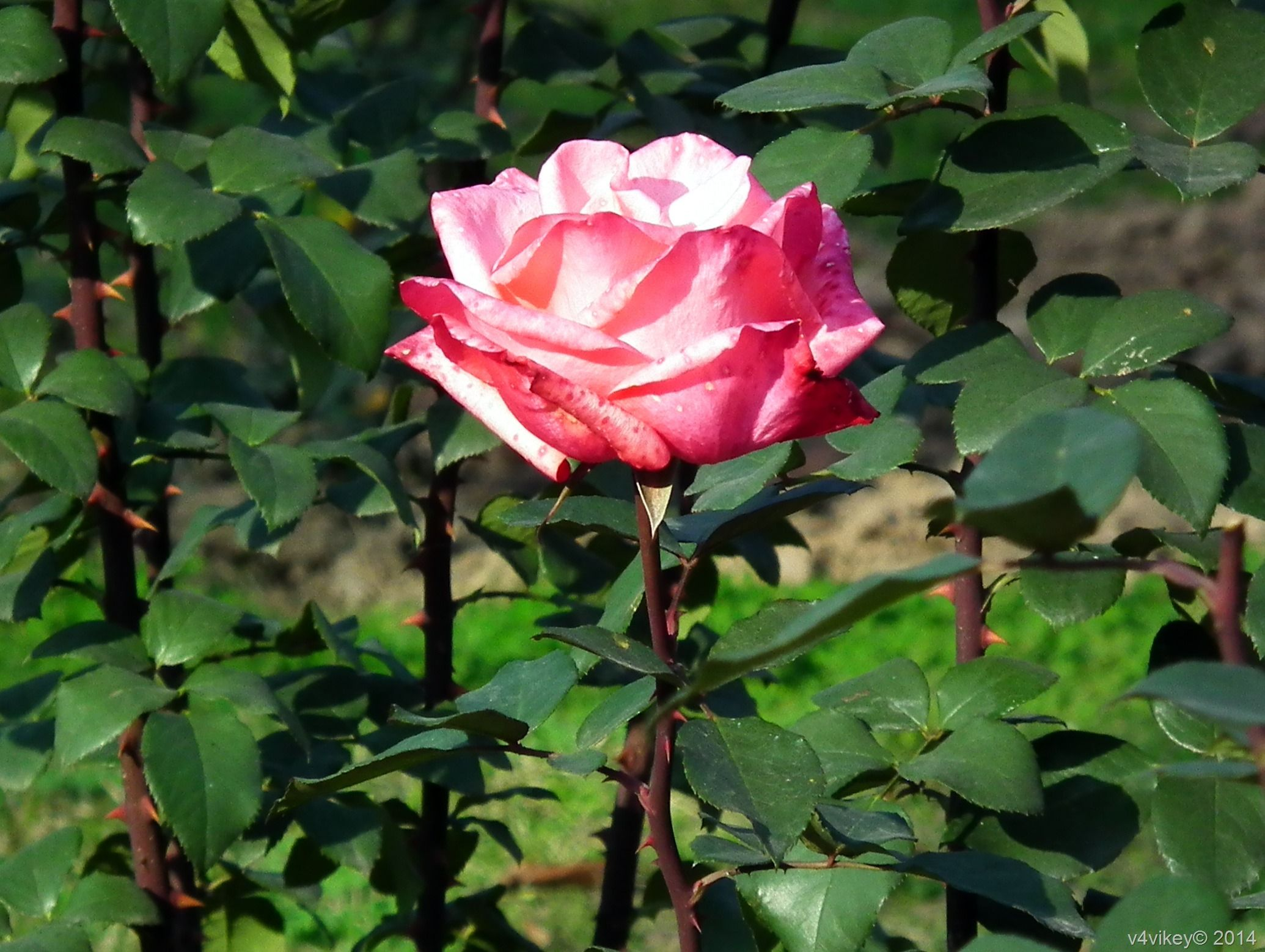 Ten Different Type of Rose Flowers in Different Colors « Wallpaper Tadka
