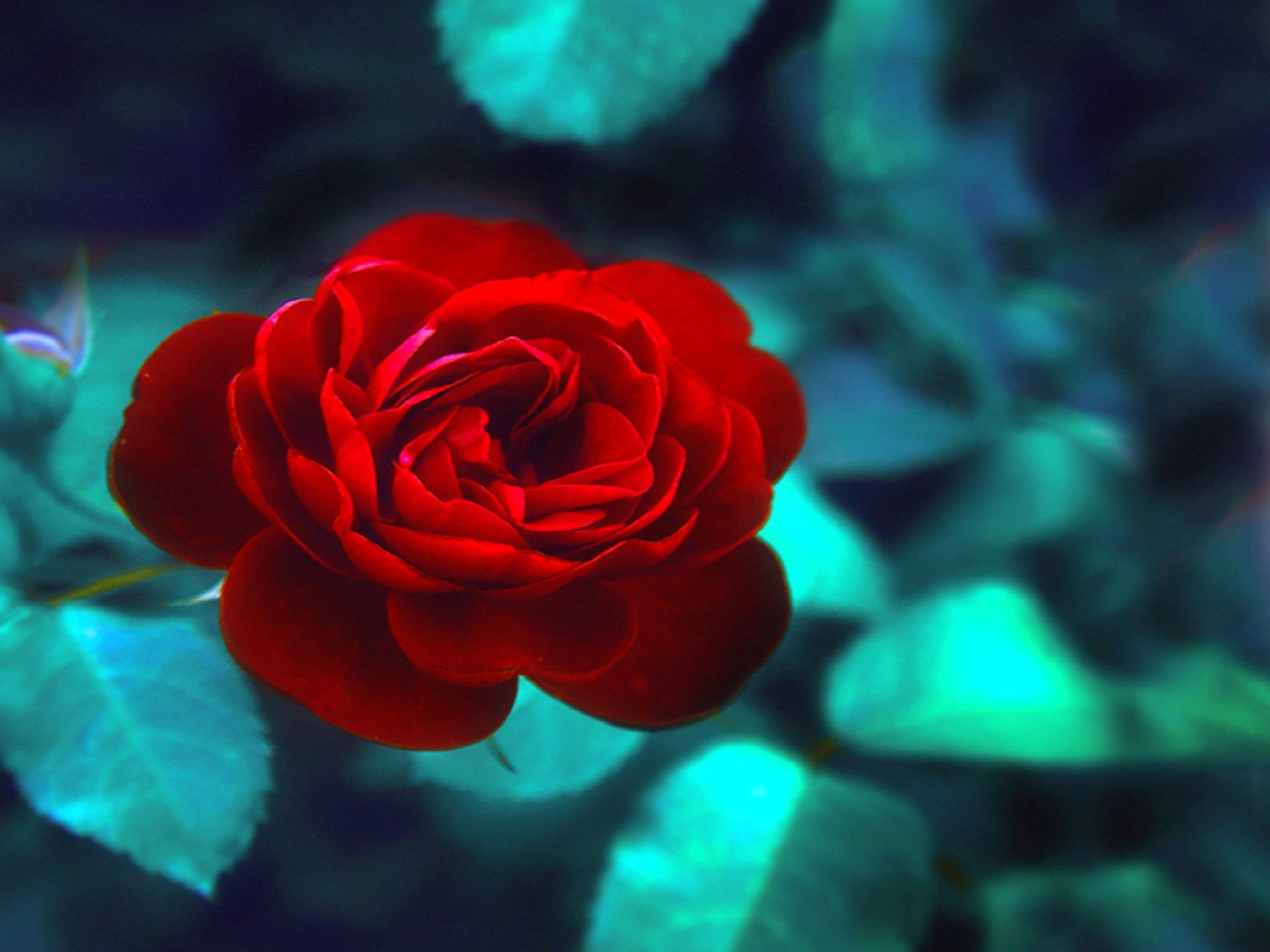 Flowers: Single Red Rose Flowers Photography Colors Creative Pre ...