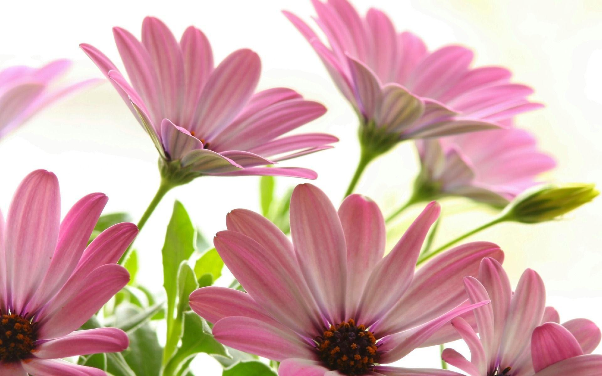 Pink flower wallpaper flowers nature wallpapers for free download ...