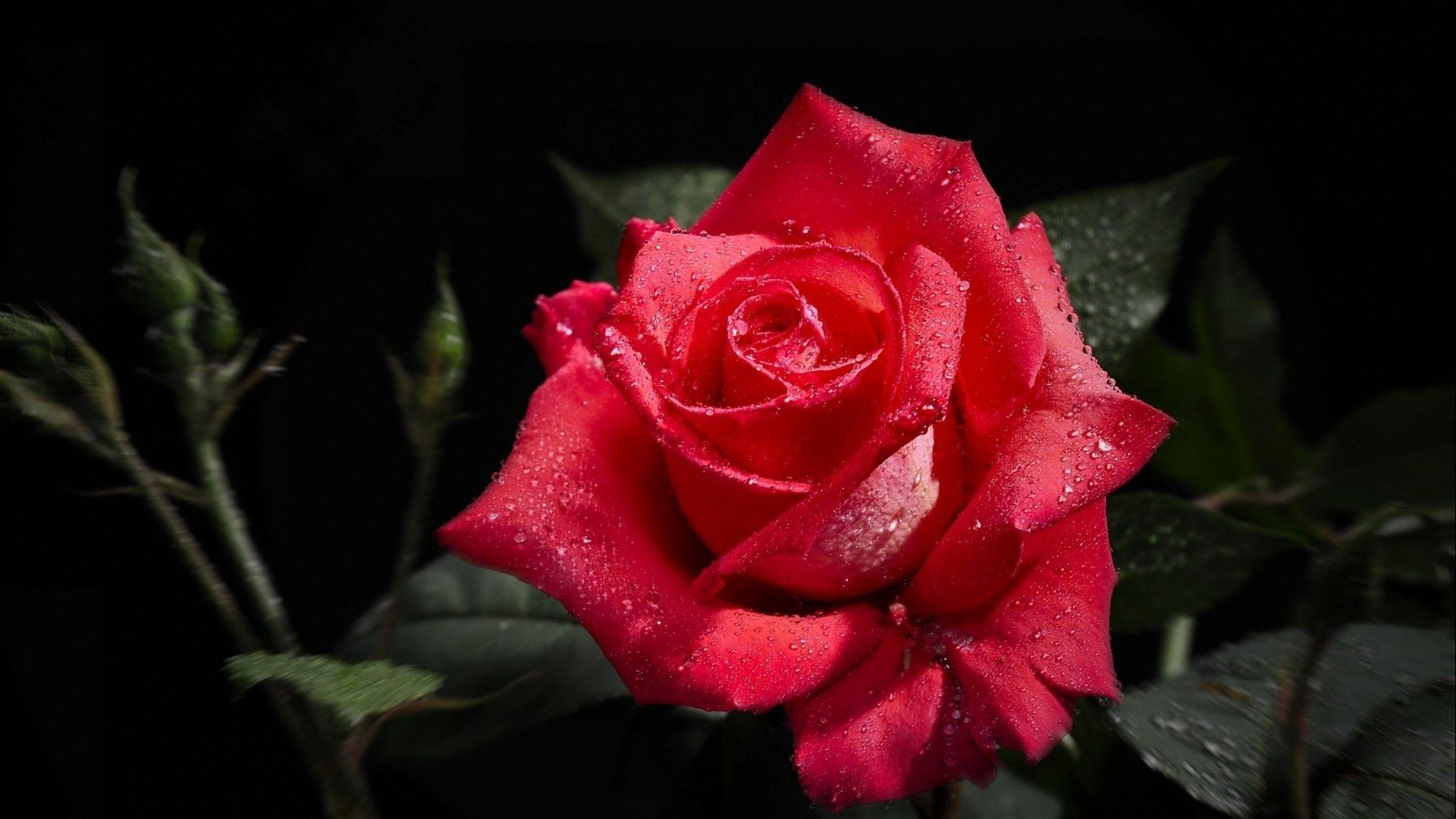 rose flower images hd wallpapers hd - Simply Wallpaper - Just ...