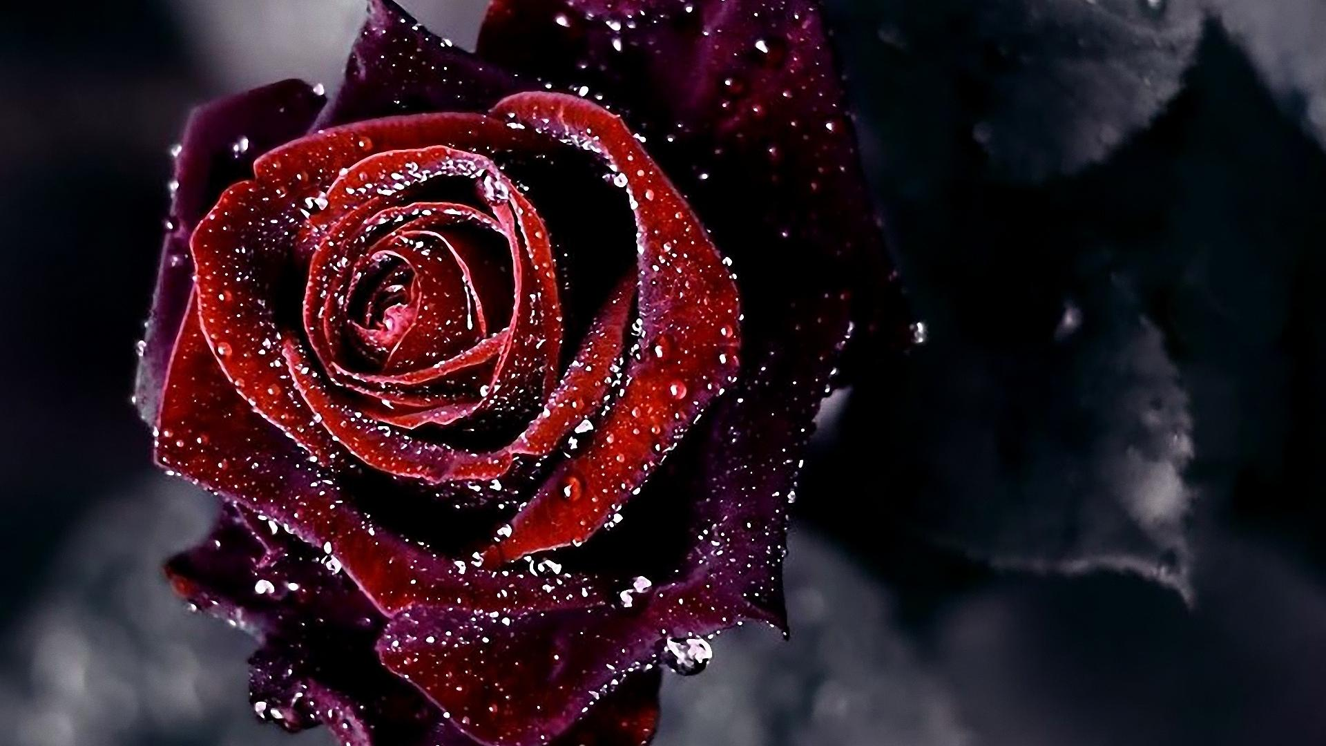 Red Rose Flower Background HD Wallpaper of Flower ...