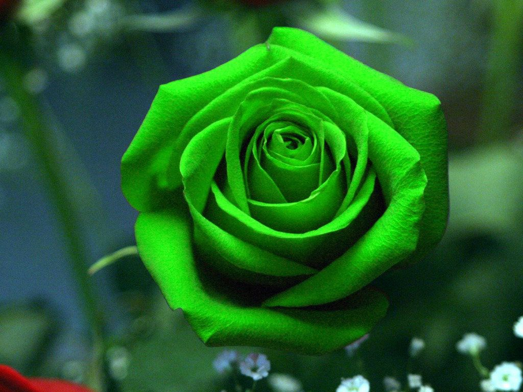 Beautiful Green Rose HD Wallpaper – Flowers Wallpapers – HD ...