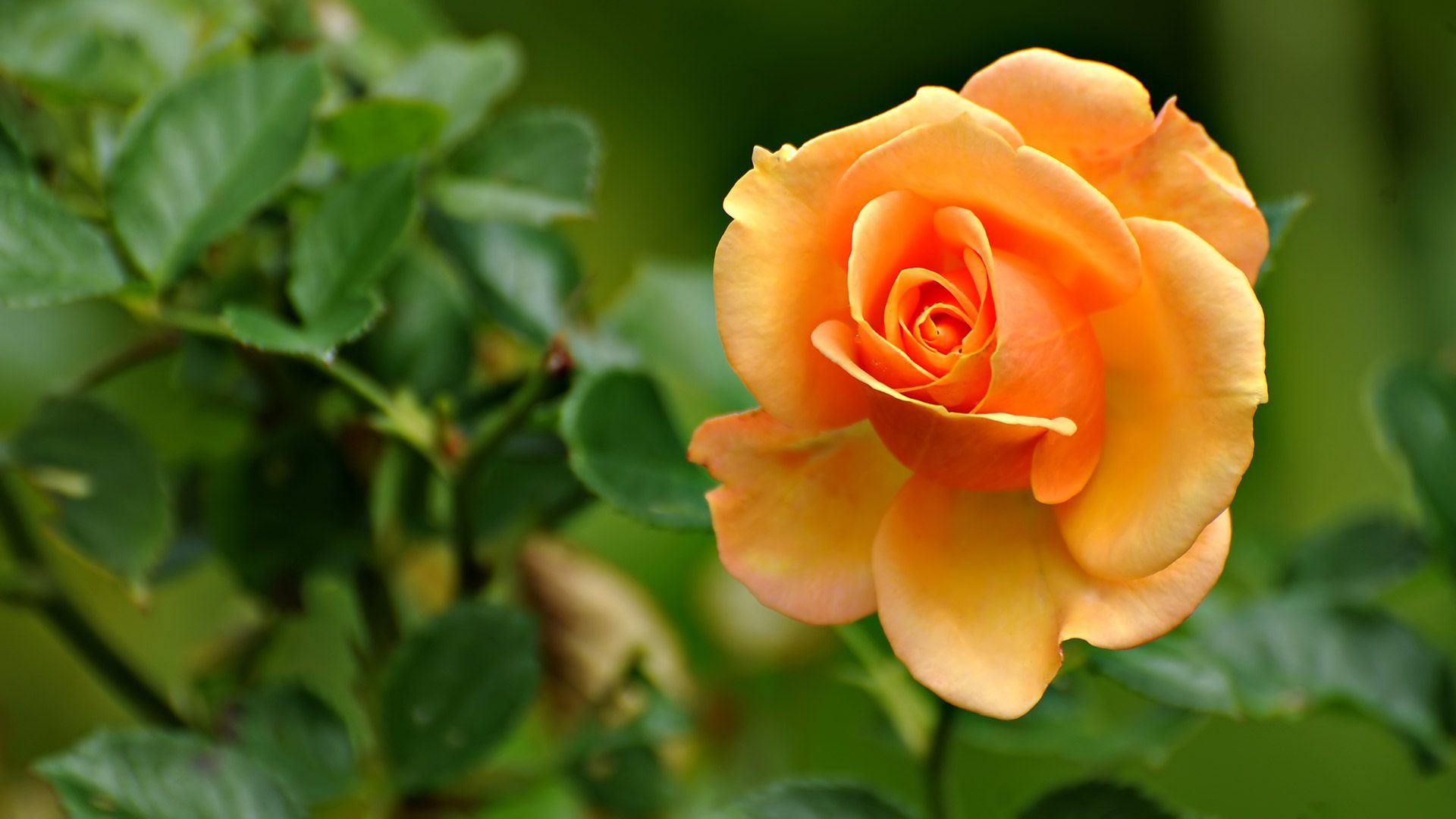 Beautiful Orange Rose Desktop Wallpaper – HD Wallpapers Images ...