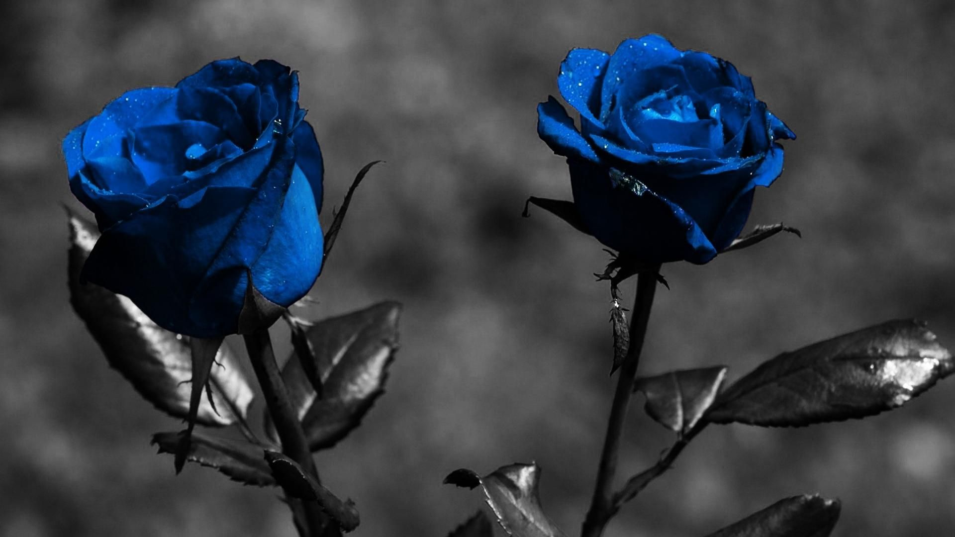 Blue Rose Flower Nature HD Wallpaper of Flower - hdwallpaper2013.com