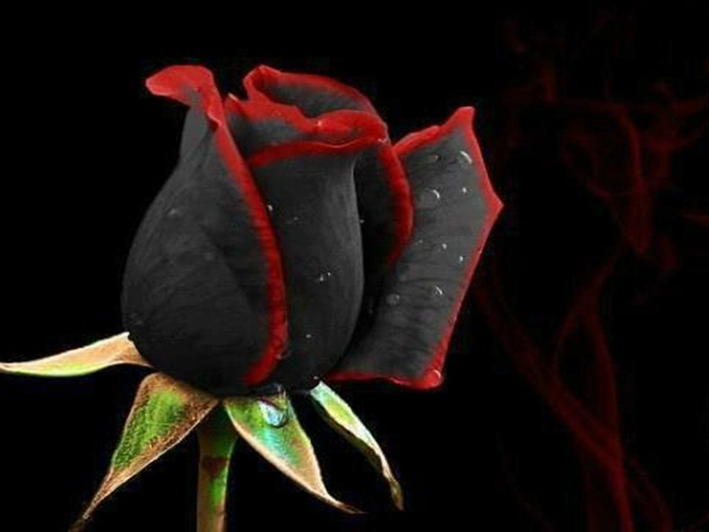 Beautiful Black Roses HD Wallpapers – Flowers HD Pictures – HD ...
