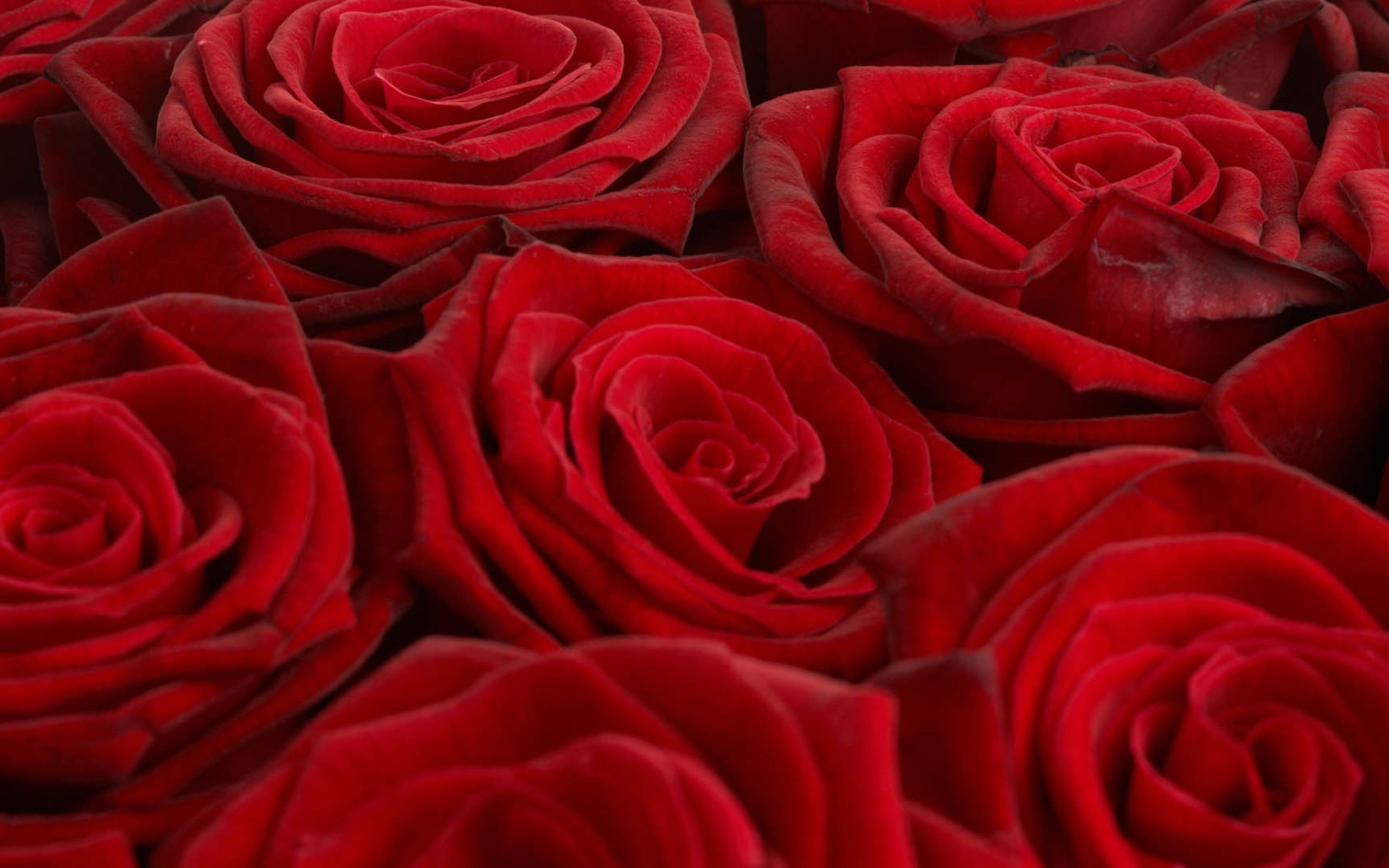 Rose Flowers Wallpapers Flowers Ideas | HD Wallpapers | Pinterest ...