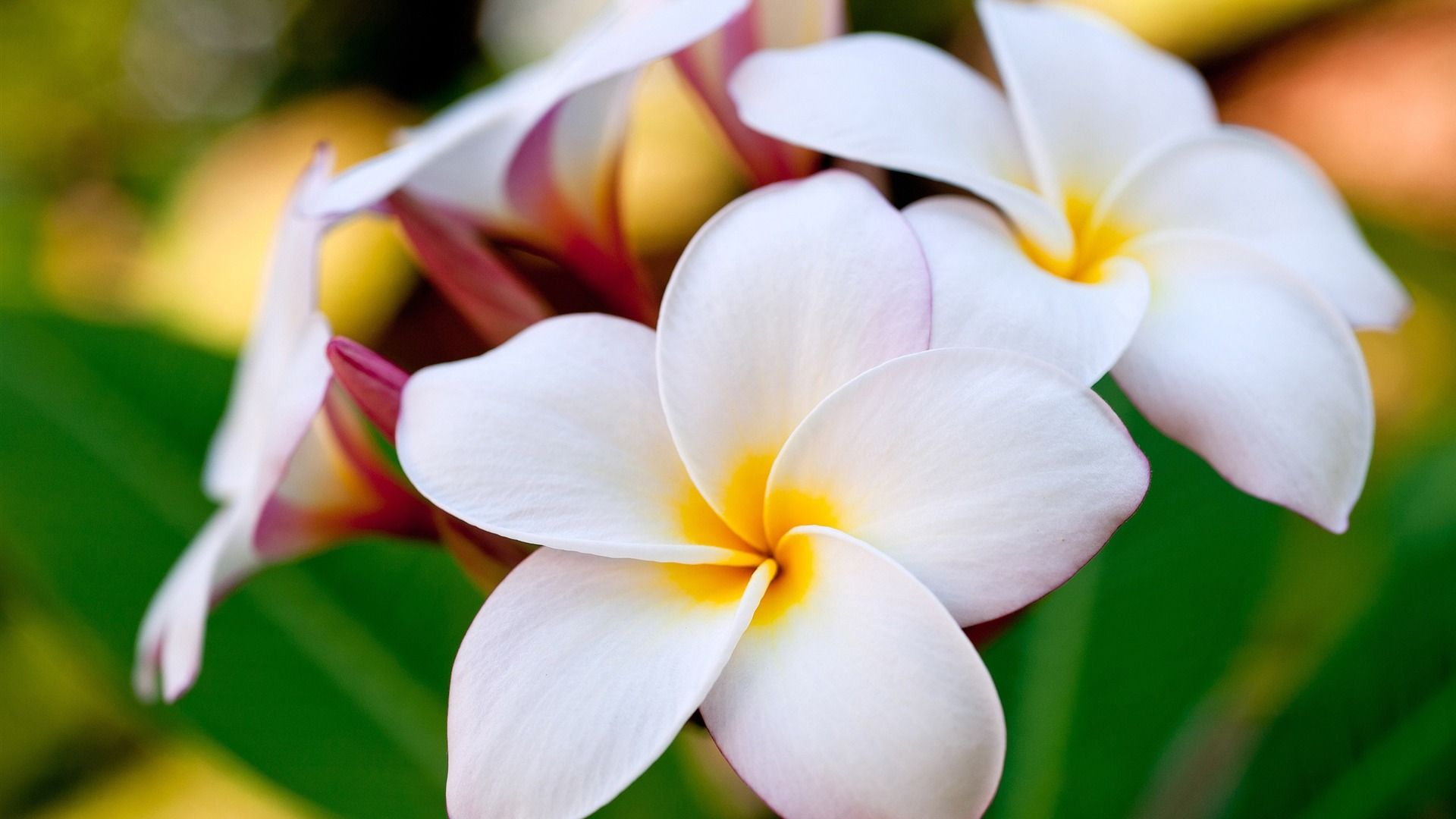 Free Hawaii Flower Wallpapers « Long Wallpapers