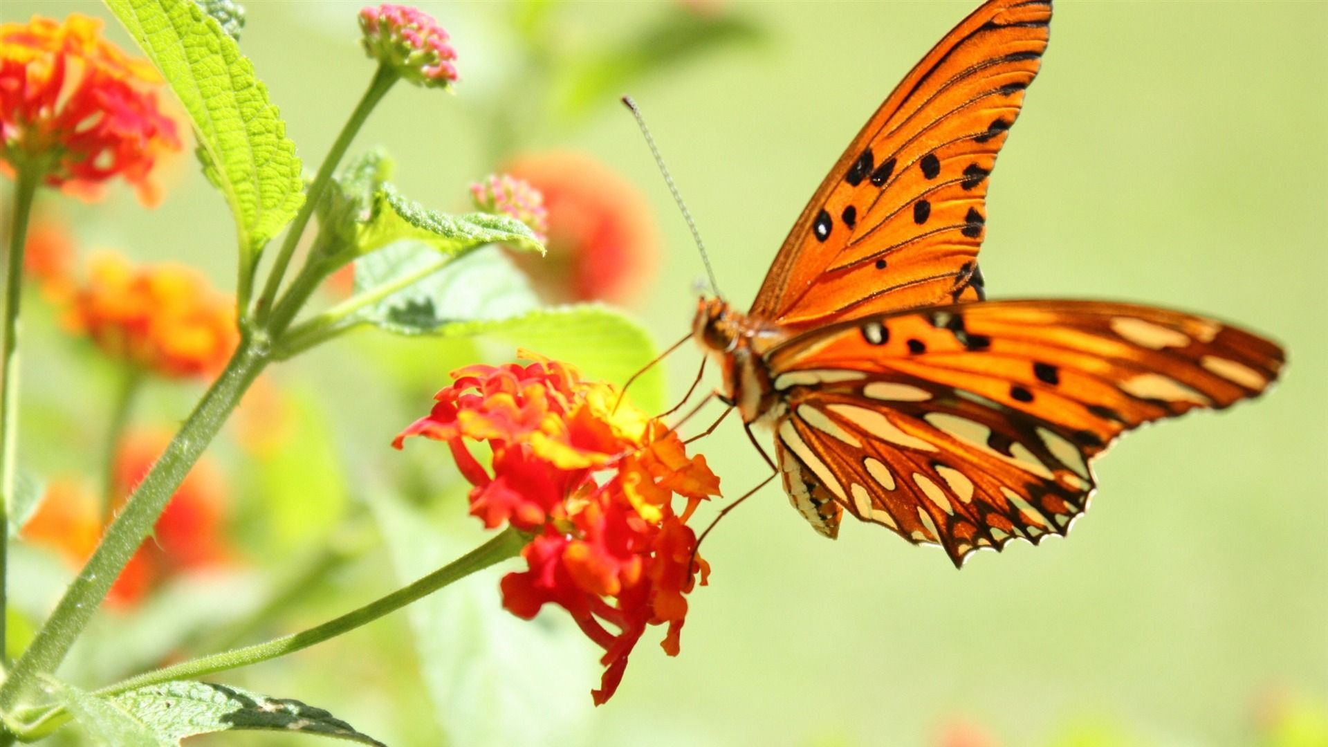 wallpaper.wiki-Butterfly-and-flowers-1080p-hd-photos-nature-PIC ...