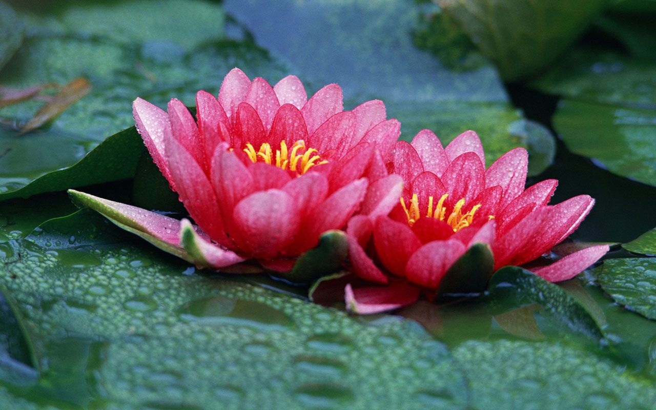 Red Lotus Flower - Flower HD Wallpapers, Images, PIctures, Tattoos ...