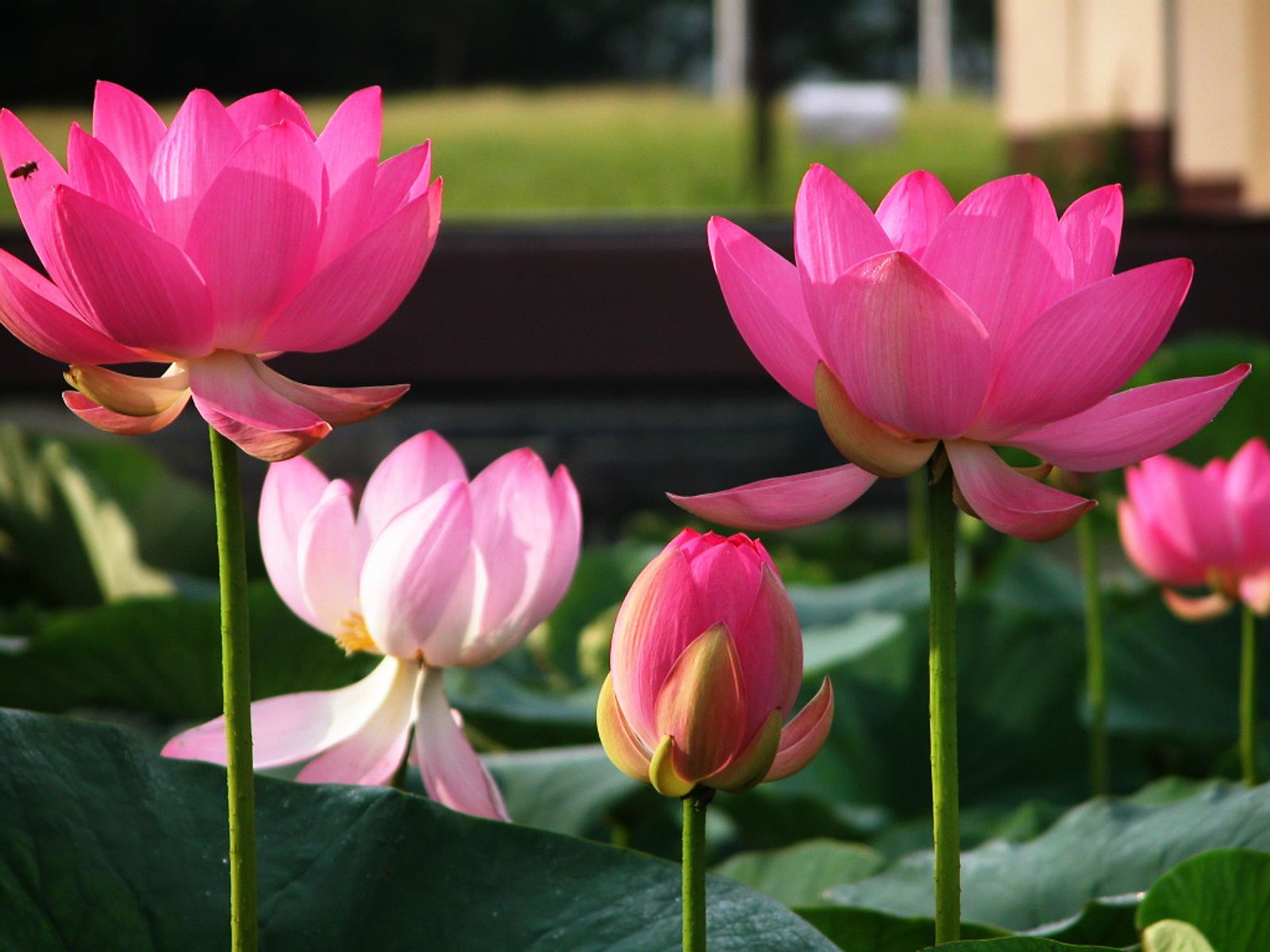 Red Lotus Flower Wallpaper 24.jpg 1,600×1,200 pixels | Louts flower ...