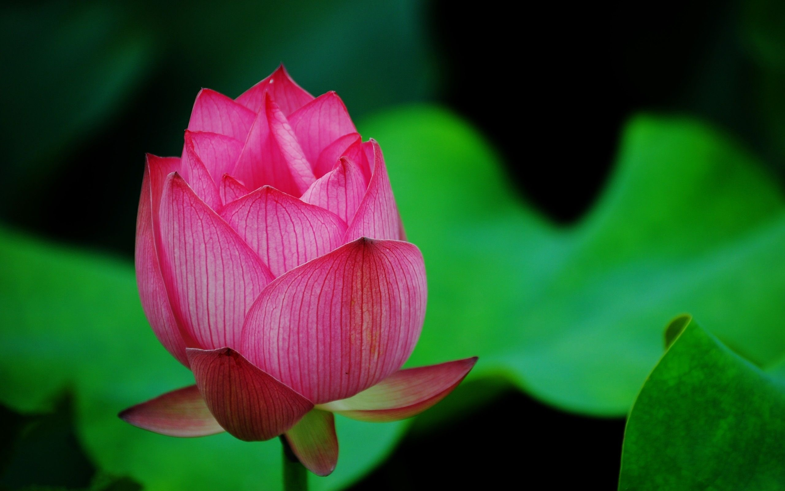 Download Wallpaper 2560x1600 A red lotus macro HD Background