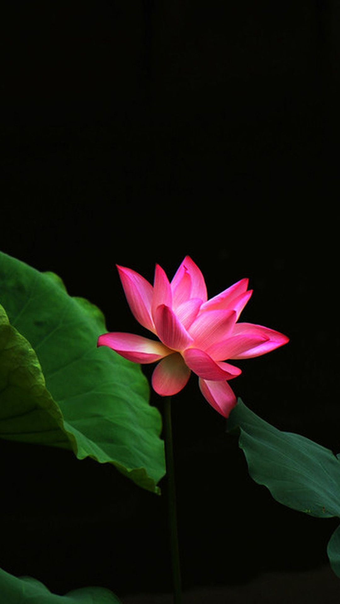 Lotus Flower Galaxy Note 3 Wallpapers