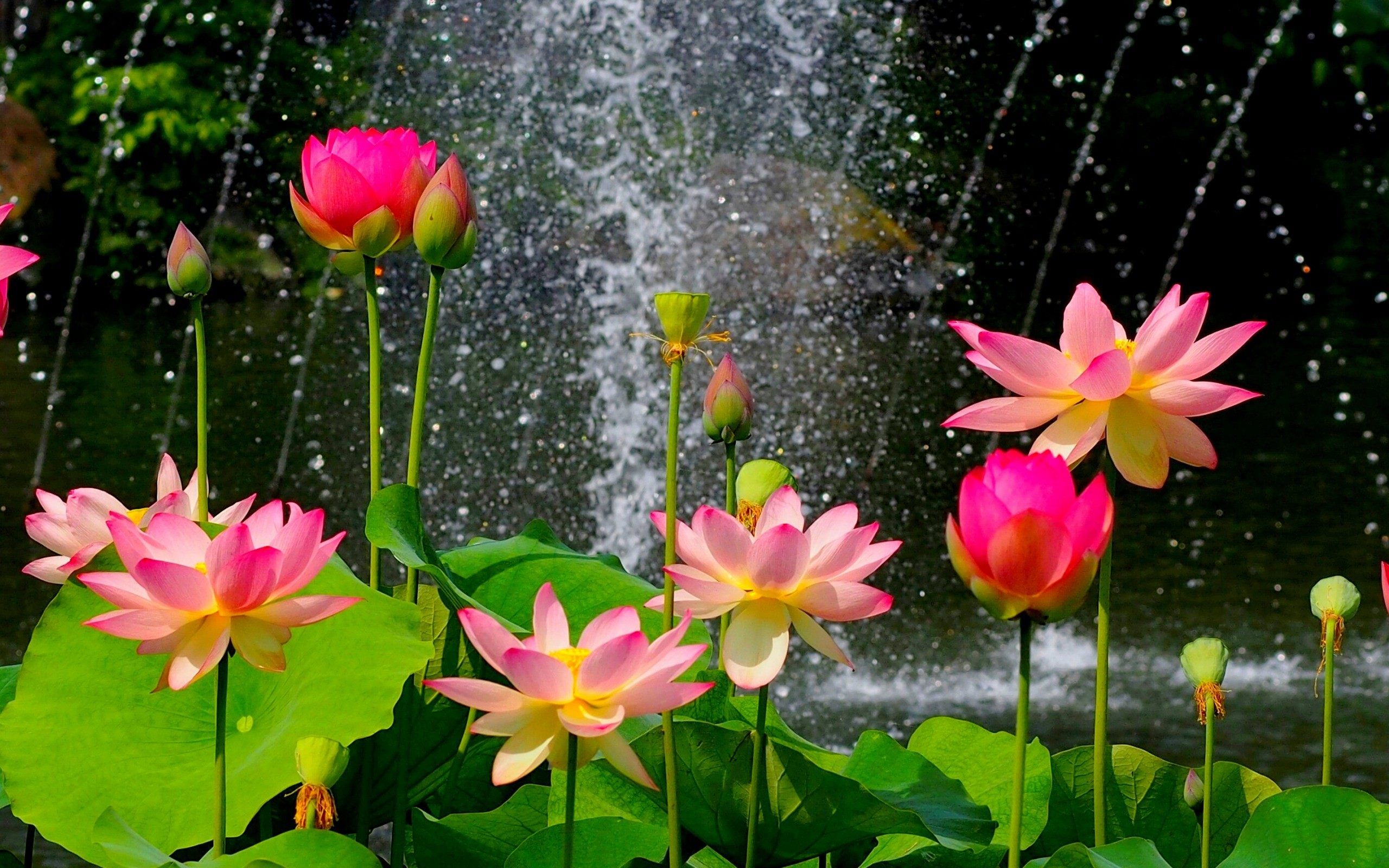 Lotus Flower Wallpapers Full Hd Free Download > SubWallpaper
