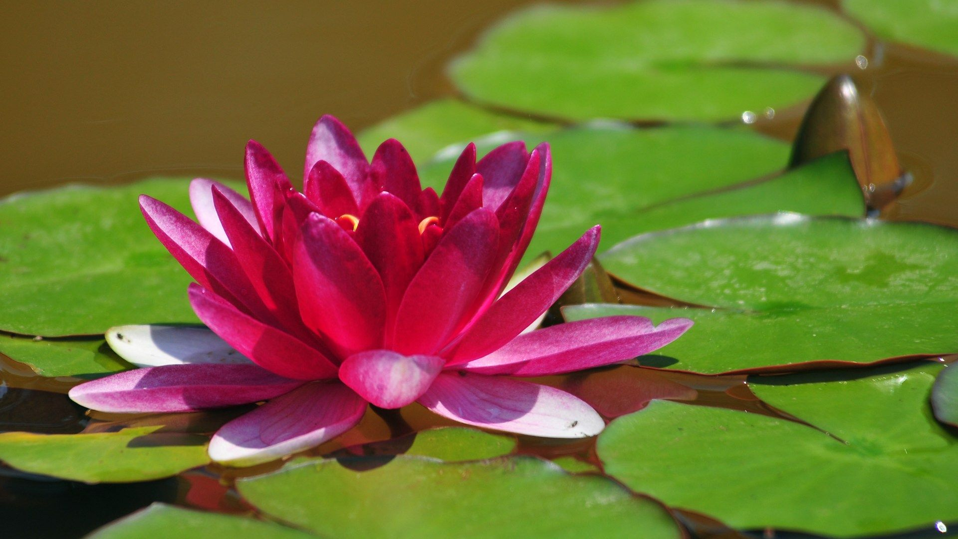 Beautiful Lotus Flower Wallpaper Lotus Hd Wallpaper ...