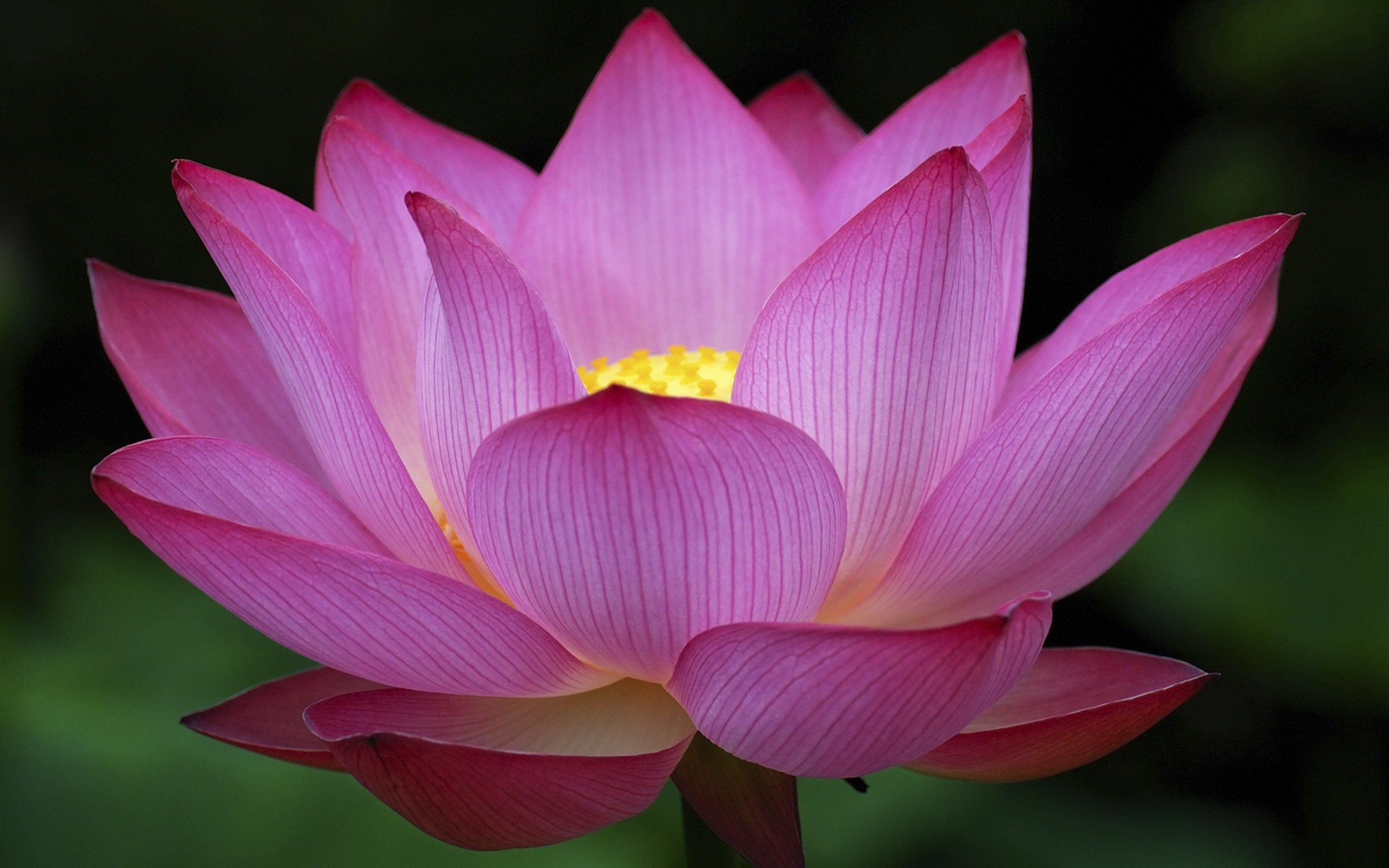 Lotus HD Wallpaper (73+ images)