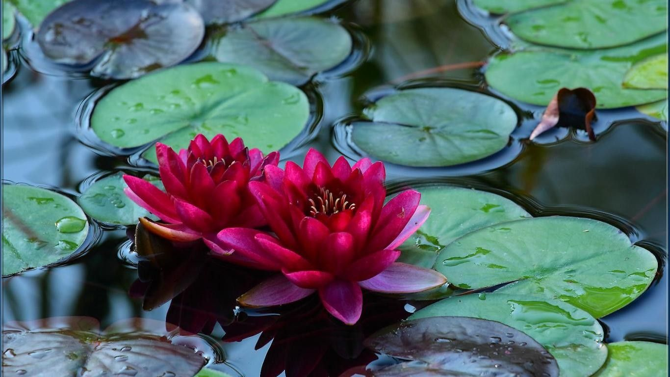 Flowers: Red Lake Water Flowers Lotus Wallpapers Hd Quality for HD ...