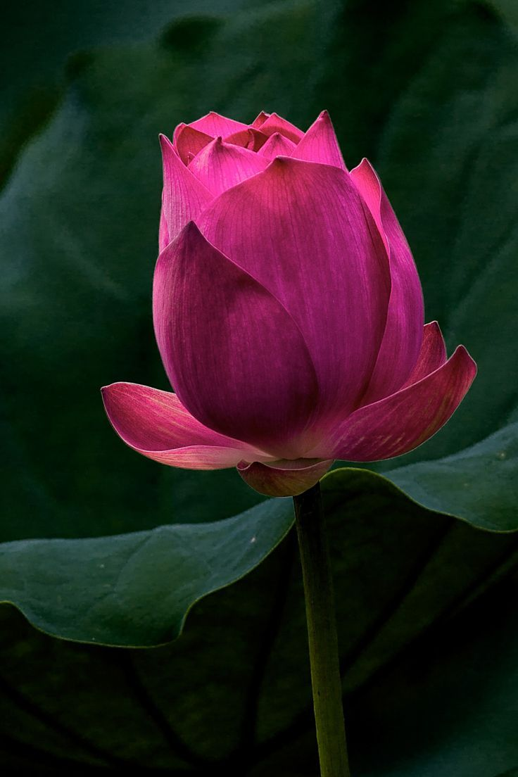 Pin by Hoi Phan Thi on Hoa súng | Pinterest | Lotus, Flowers garden ...
