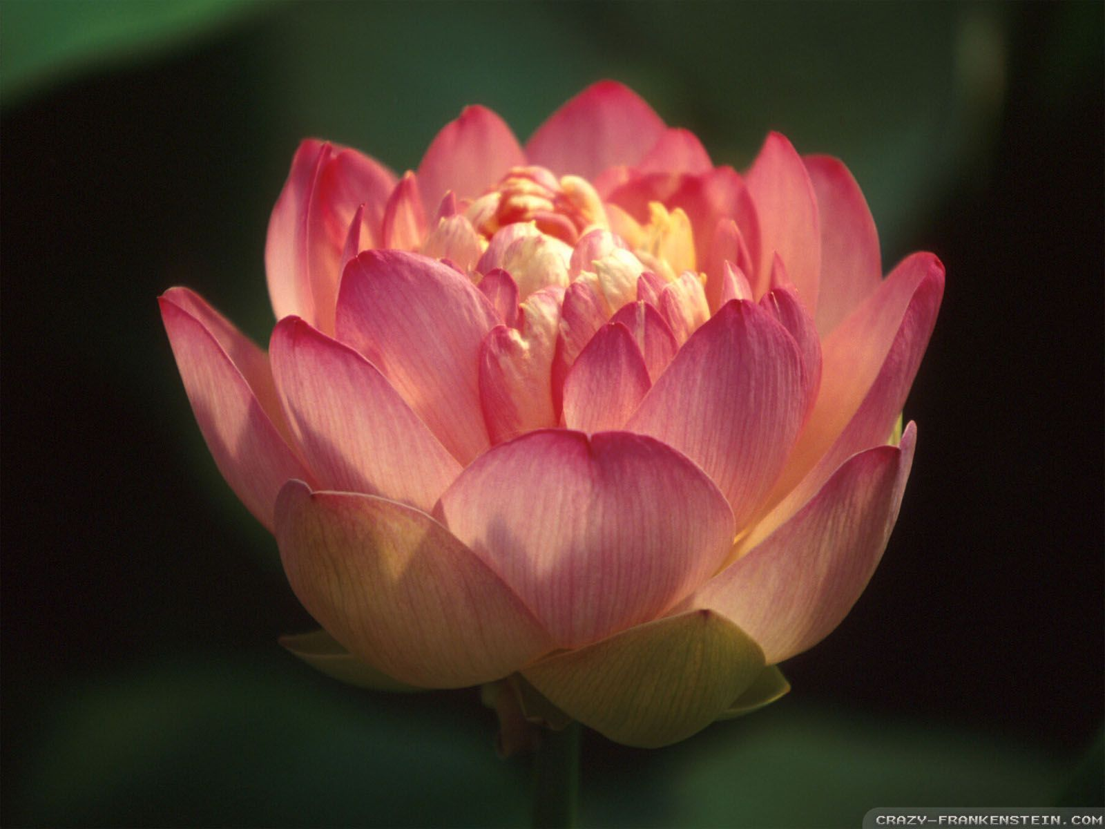 Red Lotus Flower wallpapers - Crazy Frankenstein