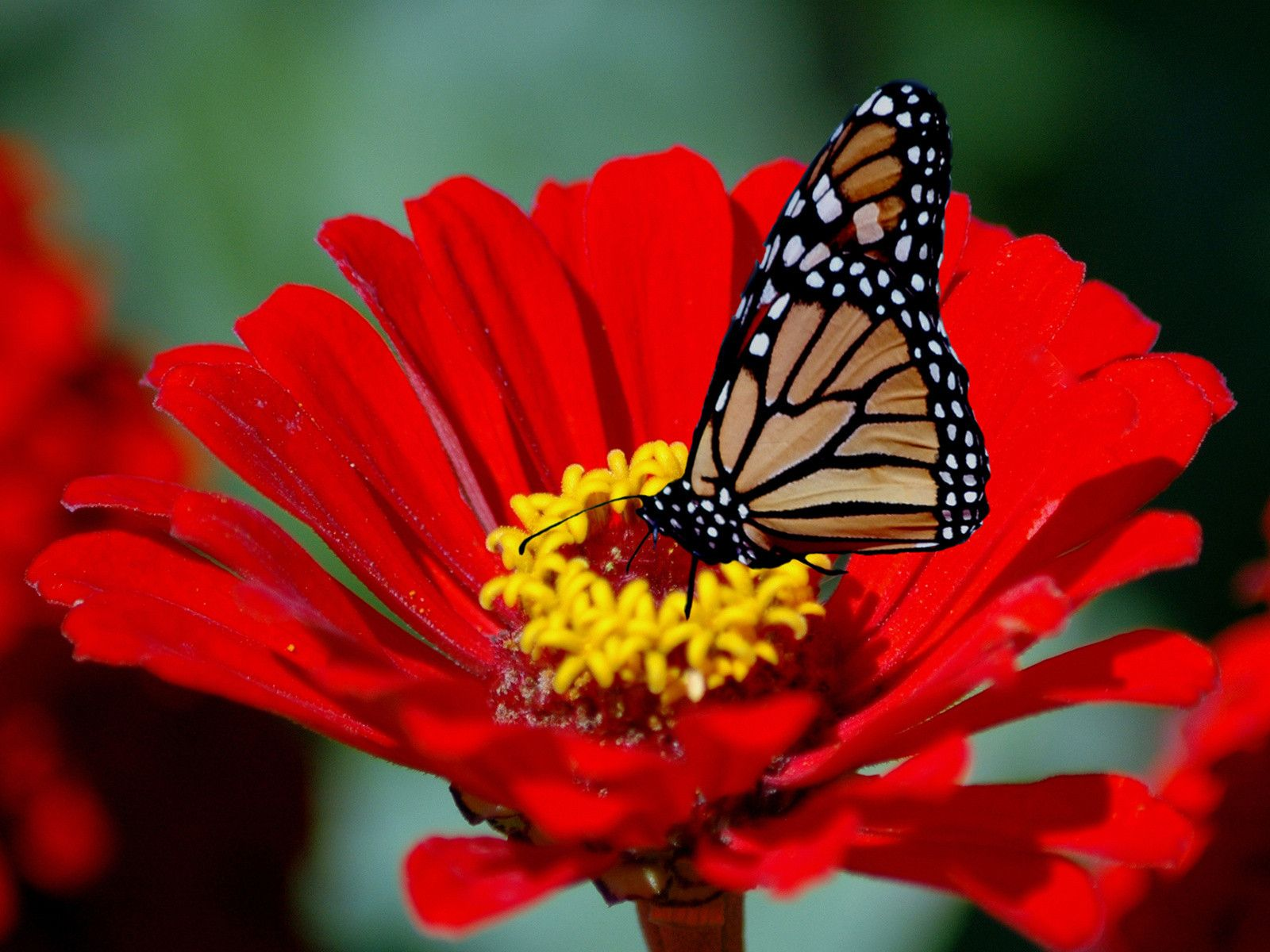 Amazing Beautiful Butterfly Wallpapers Download