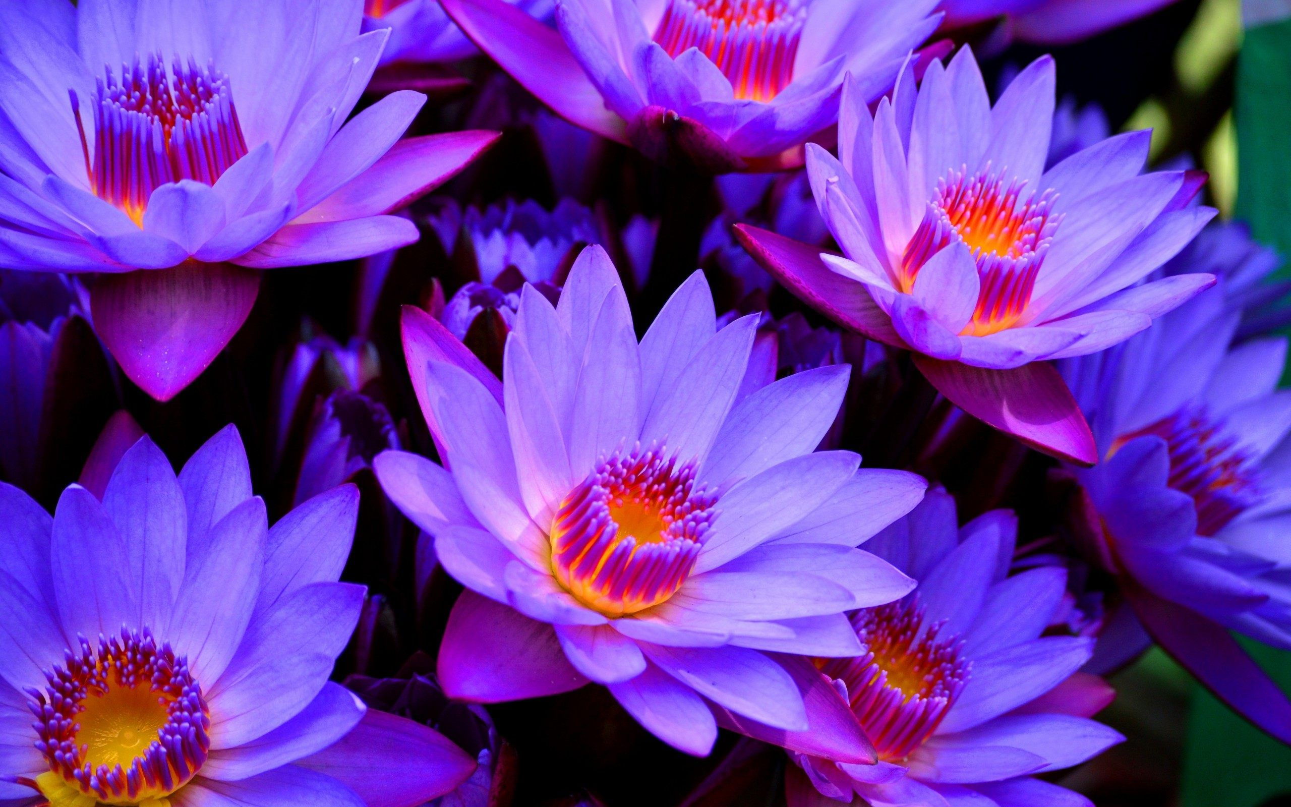 Lotus Flower Wallpapers Wide Free Download > SubWallpaper