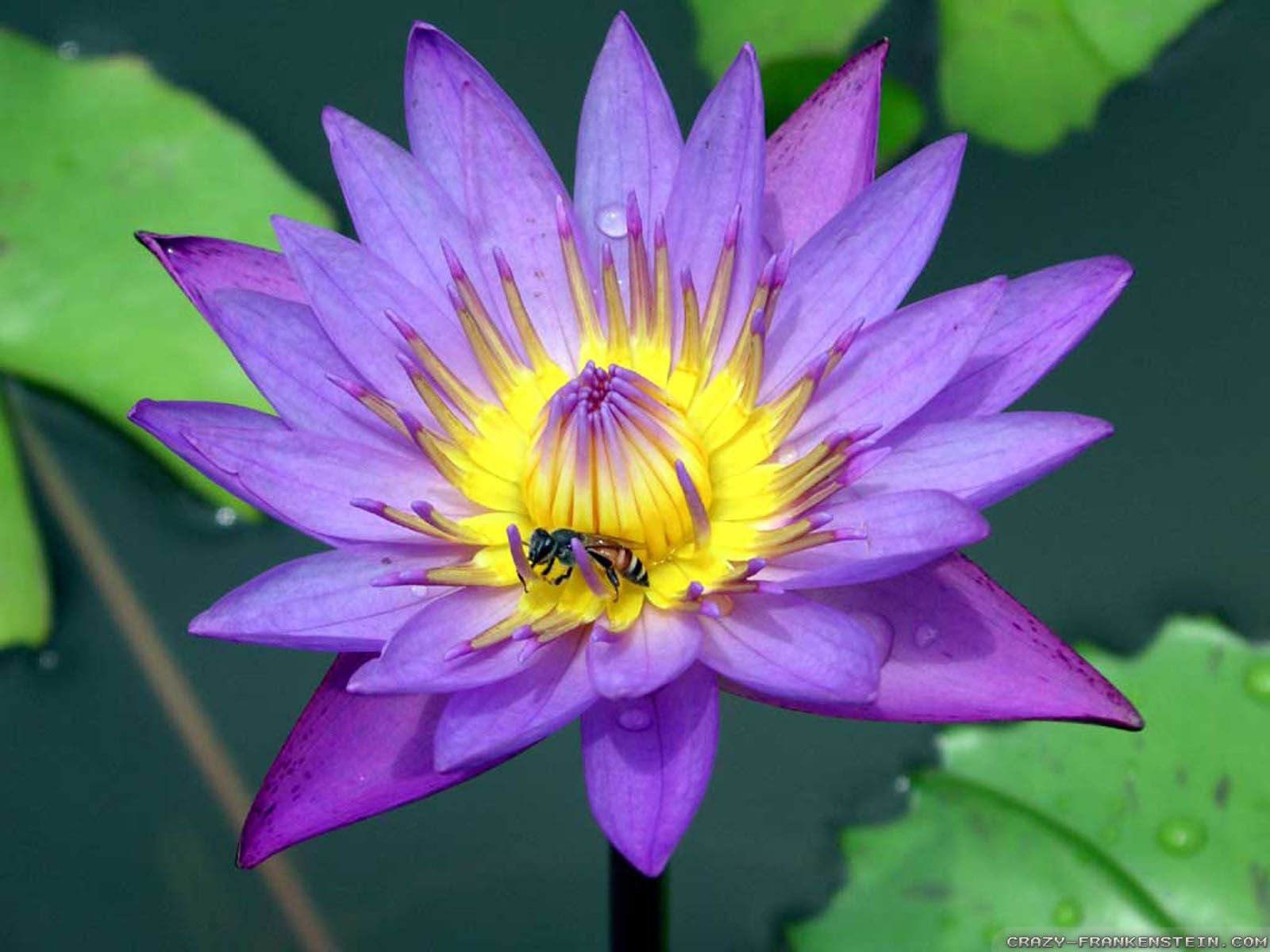 Purple Lotus Flower Wallpaper For Iphone Free Download > SubWallpaper