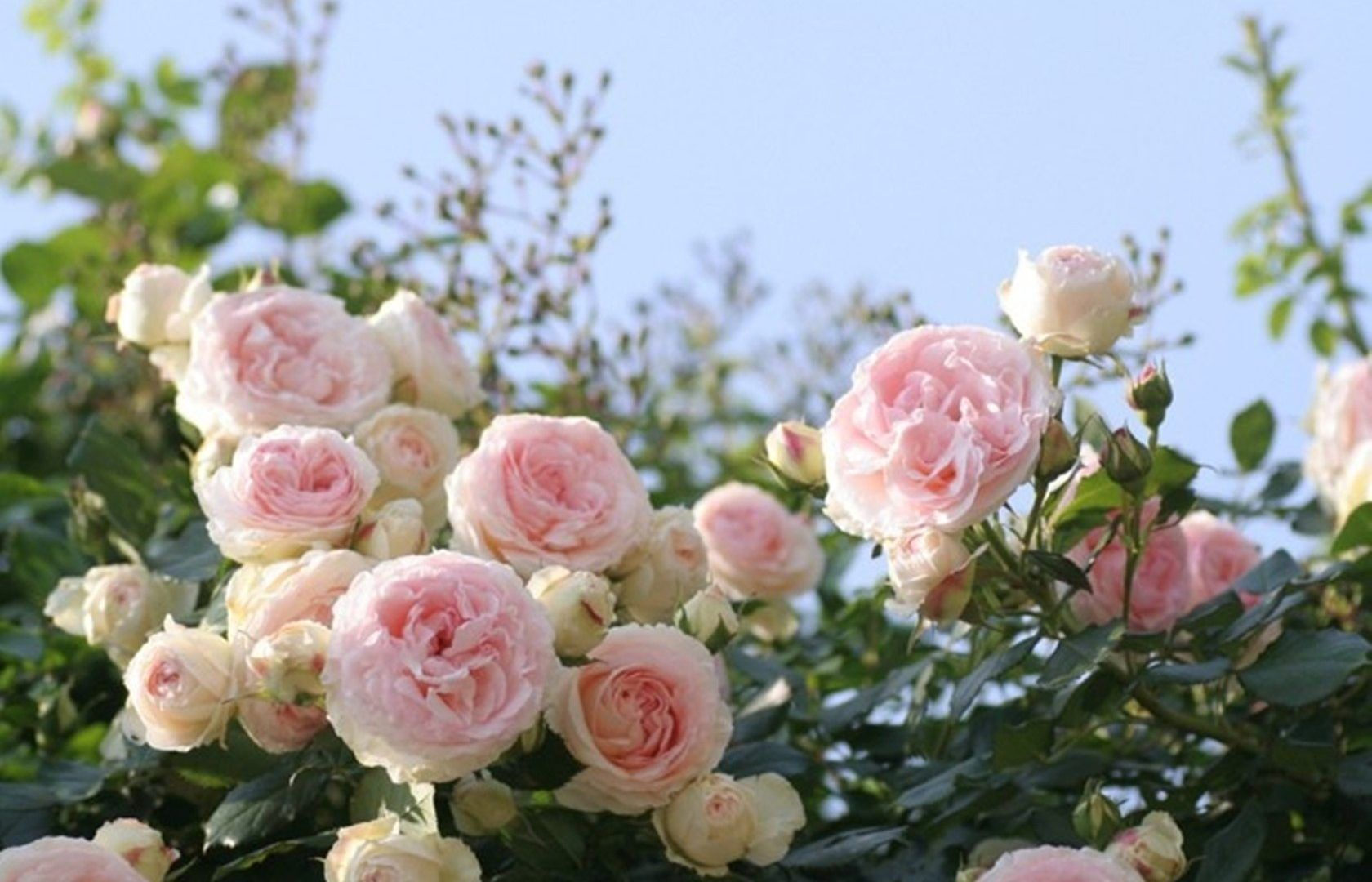 Flowers: Roses Pink Flowers Soft Nature Flower Wallpaper For Desktop ...