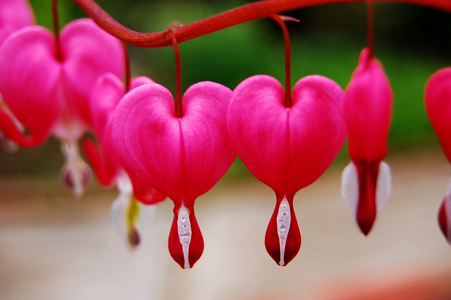 Flowers: Hang Coming Bleeding Spring Nature Heart Flowers Flower Hd ...