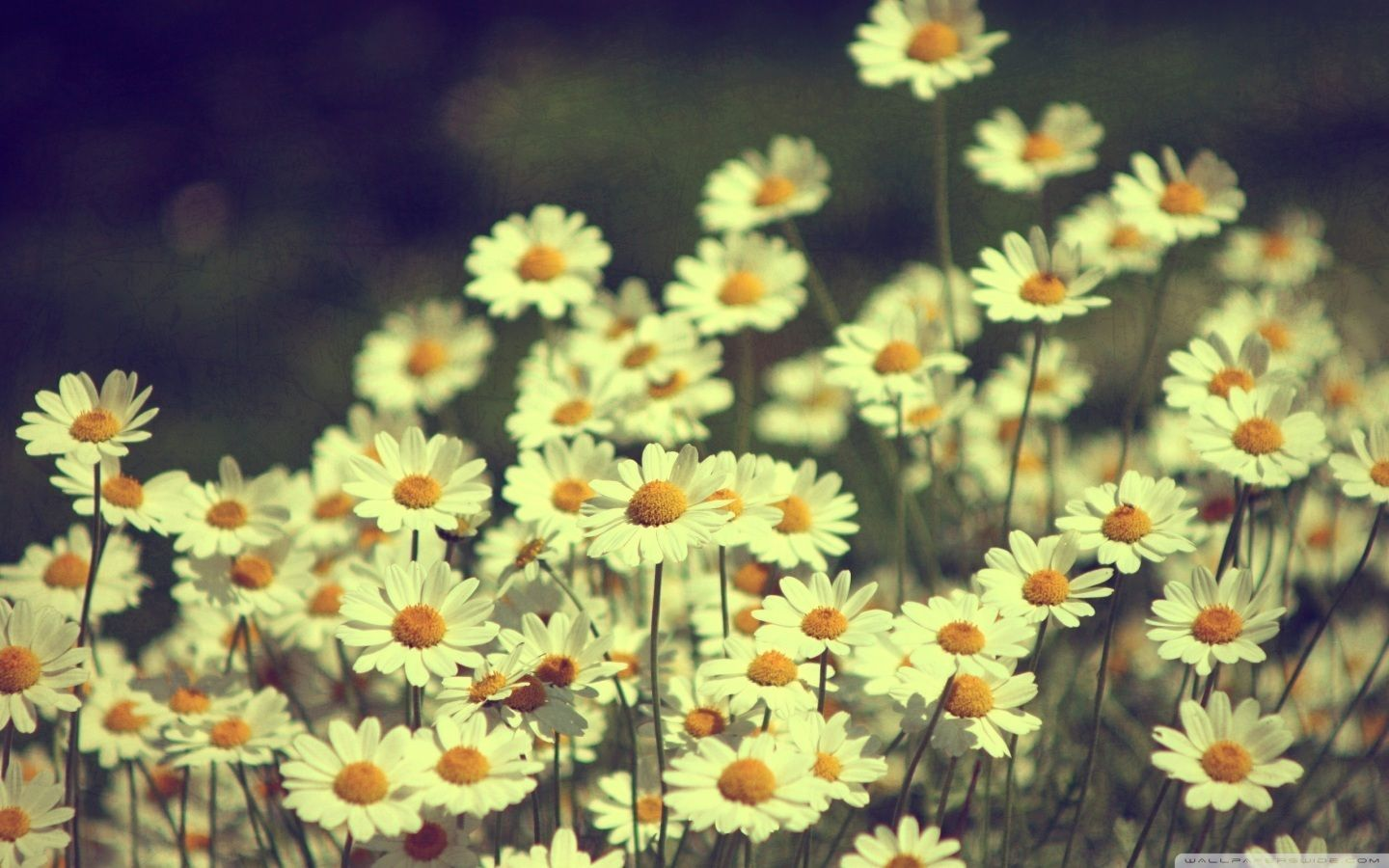 Tumblr Static Vintage Daisies Photography Hd Desktop Wallpaper High ...