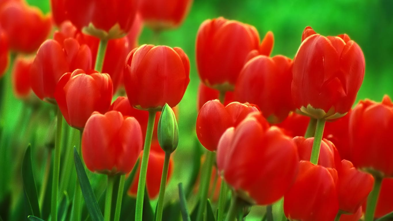 Tulip Flowers New Full Screen HD Wallpapers | Download Wallpaper ...